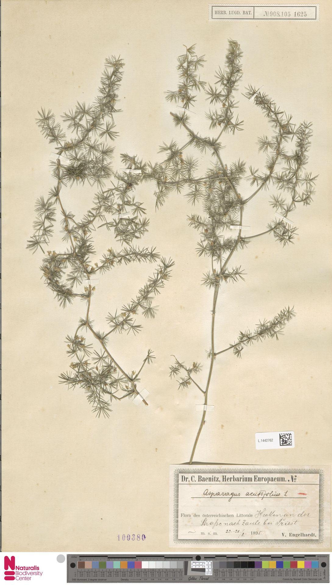 L.1442762 | Asparagus acutifolius L.