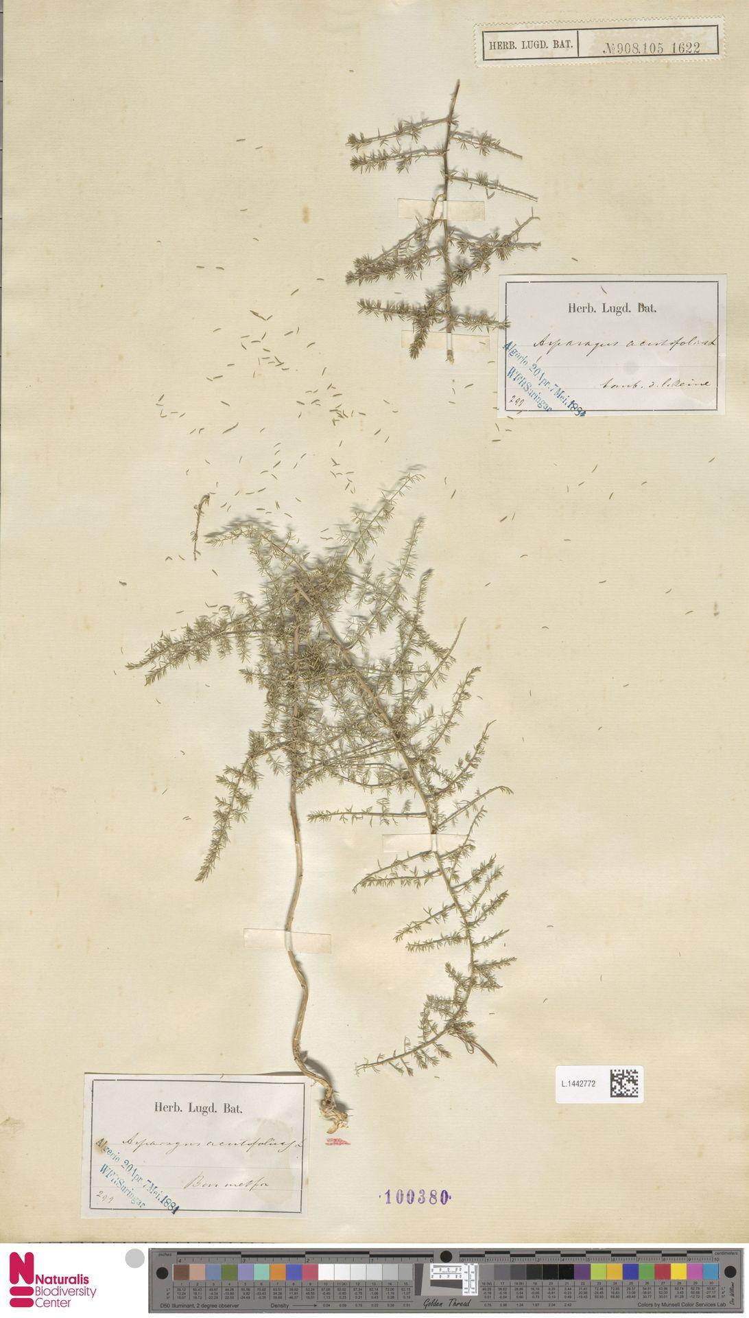 L.1442772   Asparagus acutifolius L.