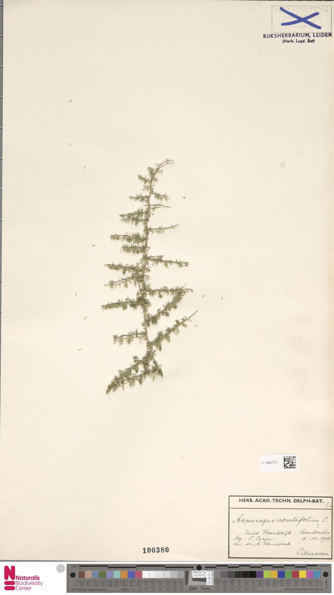 L.1442777 | Asparagus acutifolius L.