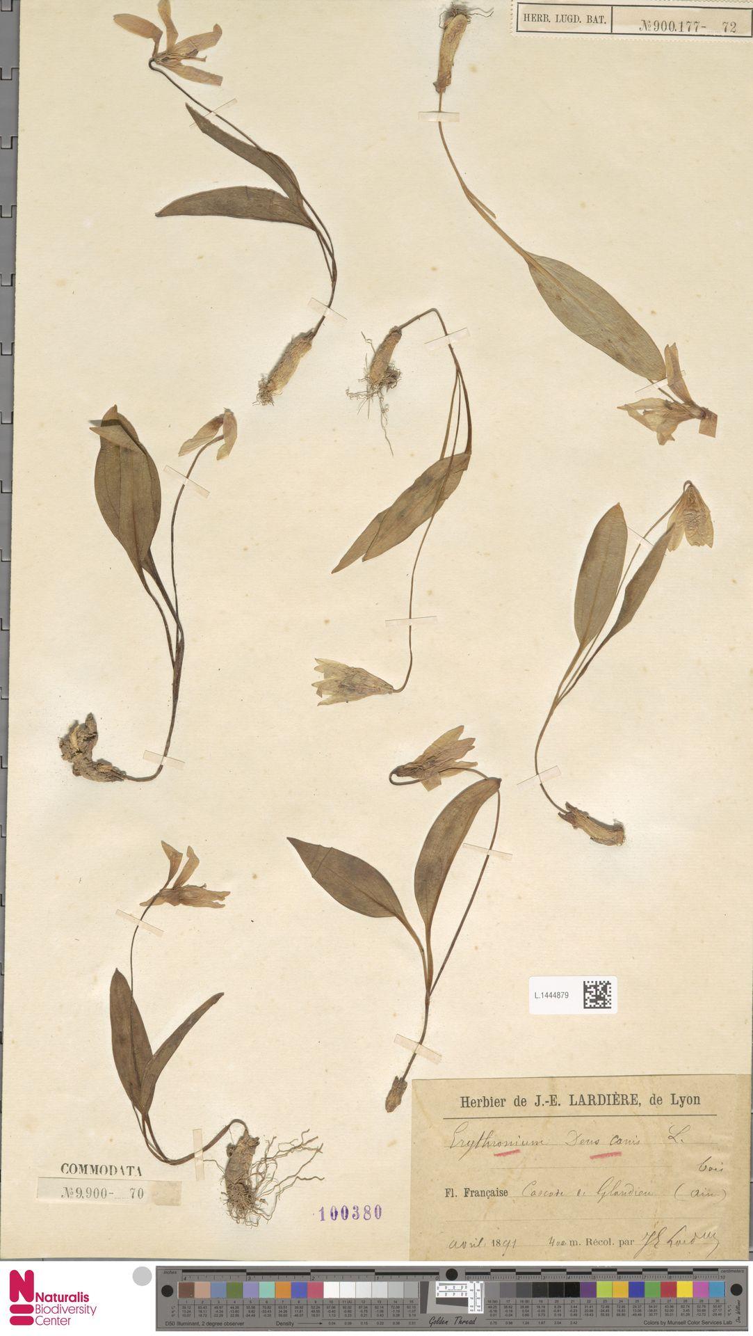 L.1444879 | Erythronium dens-canis L.
