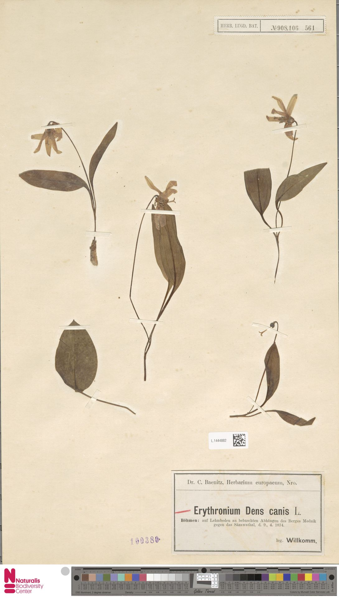 L.1444882 | Erythronium dens-canis L.