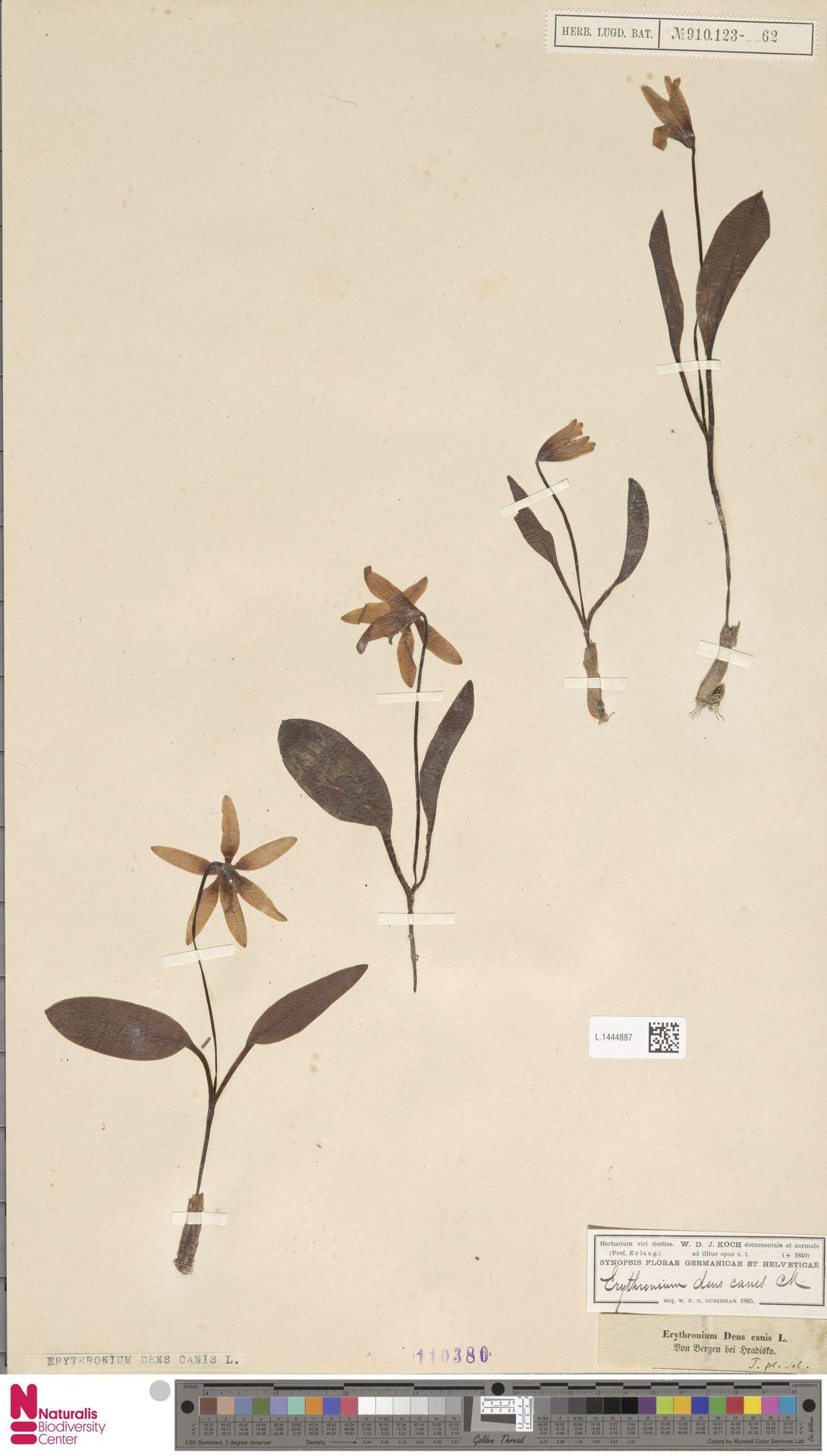 L.1444887 | Erythronium dens-canis L.