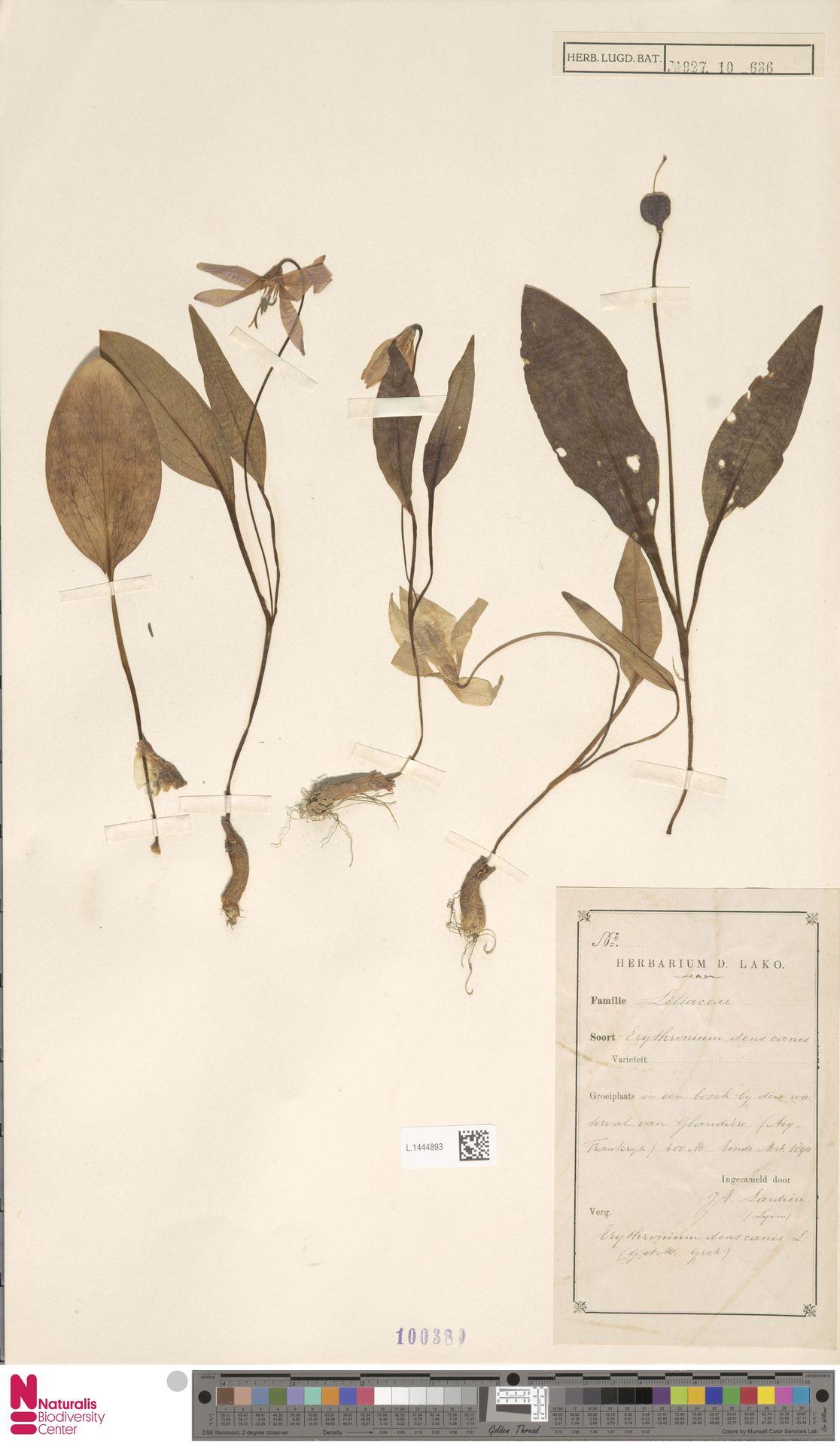 L.1444893 | Erythronium dens-canis L.
