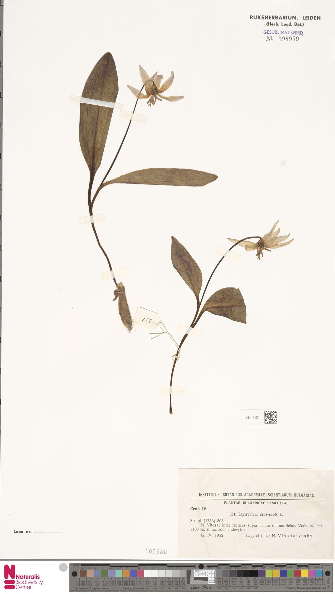 L.1444912 | Erythronium dens-canis L.
