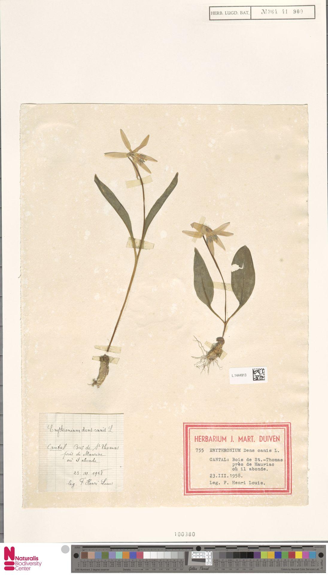L.1444913   Erythronium dens-canis L.
