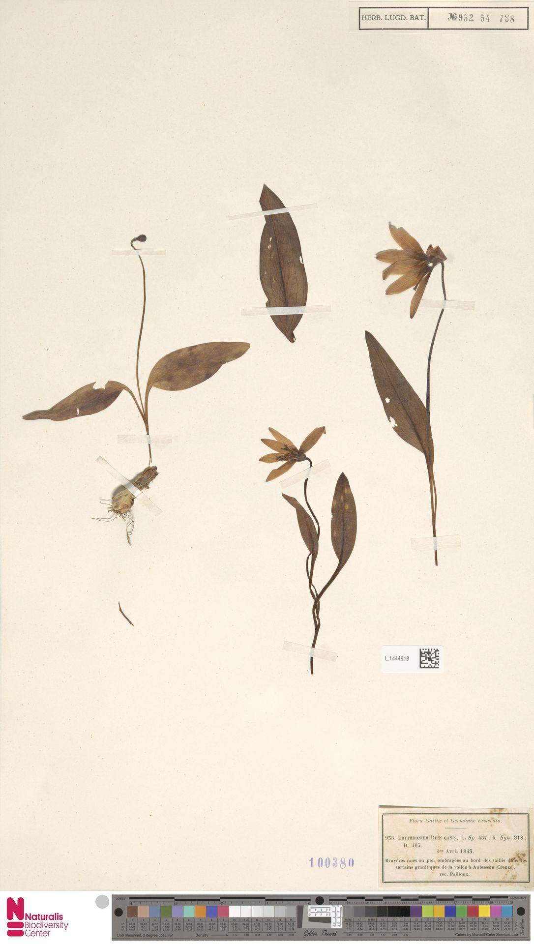 L.1444918   Erythronium dens-canis L.