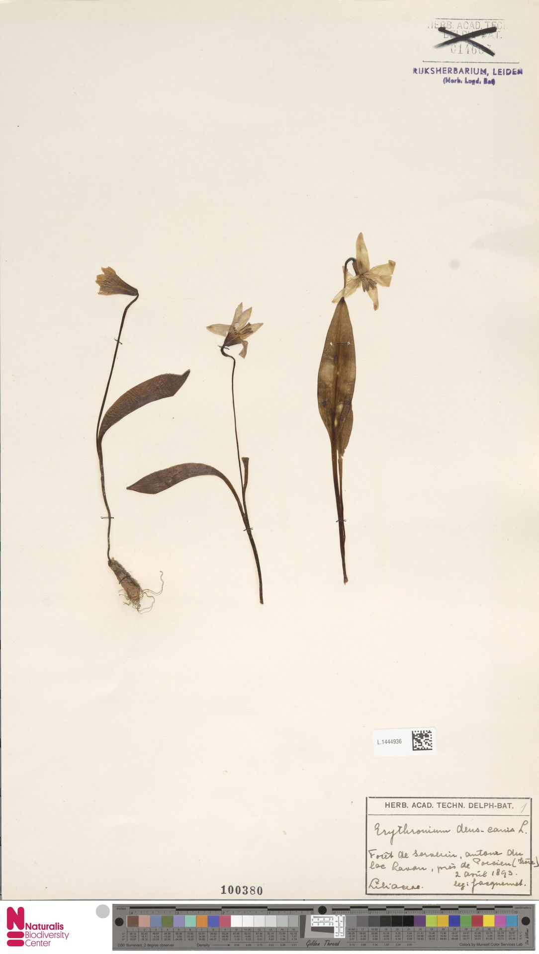 L.1444936 | Erythronium dens-canis L.