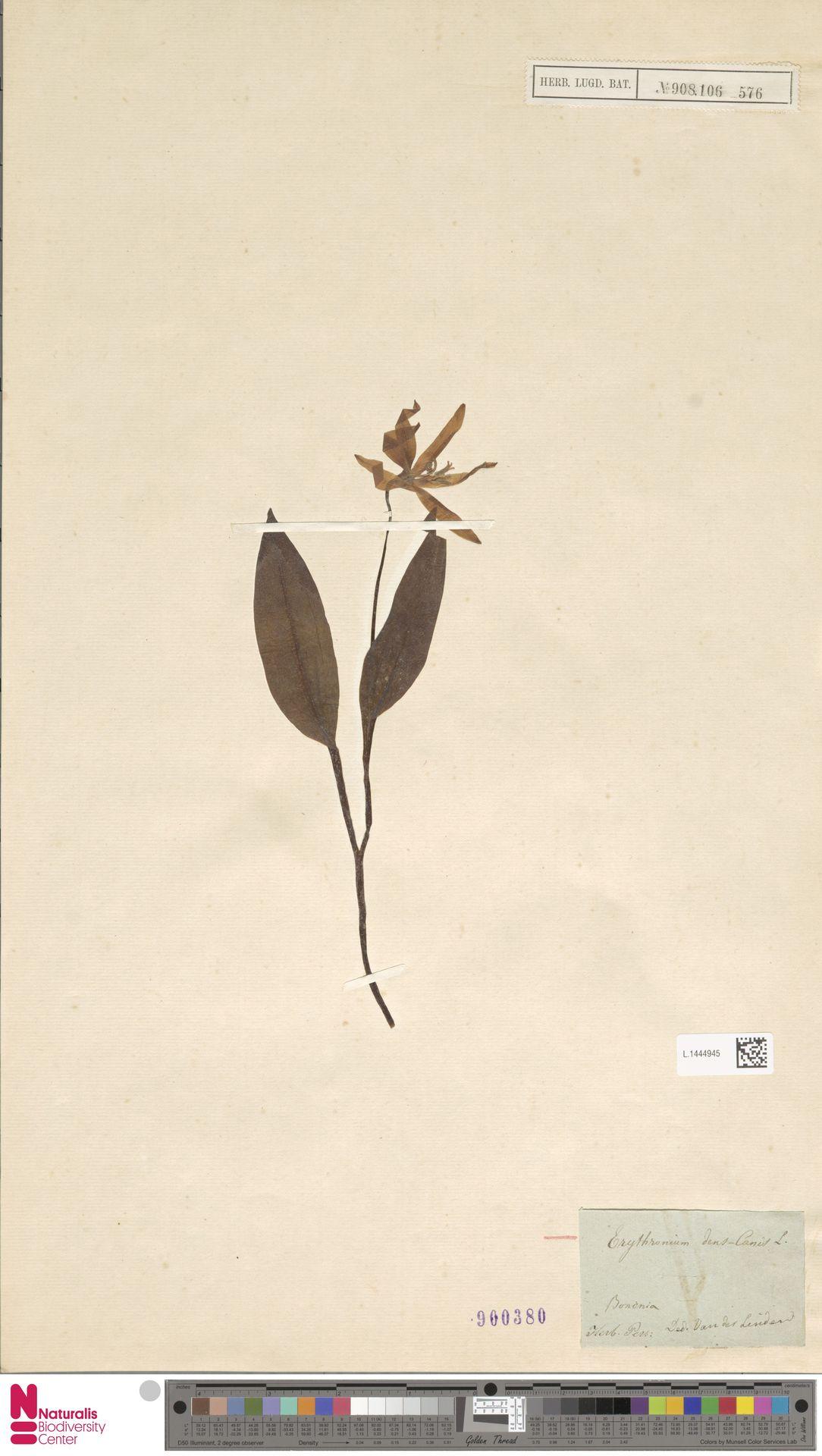 L.1444945 | Erythronium dens-canis L.