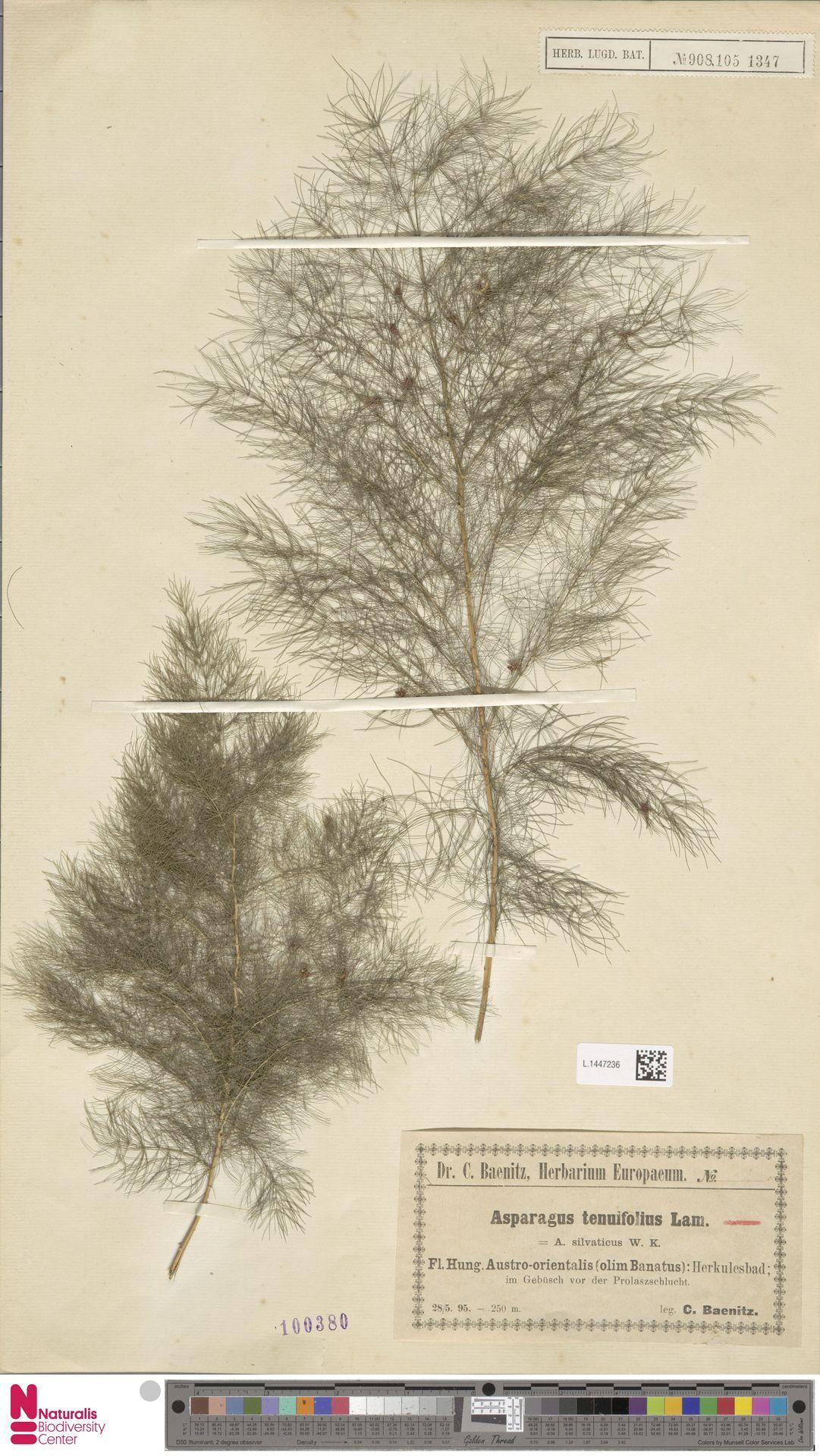 L.1447236   Asparagus tenuifolius Lam.