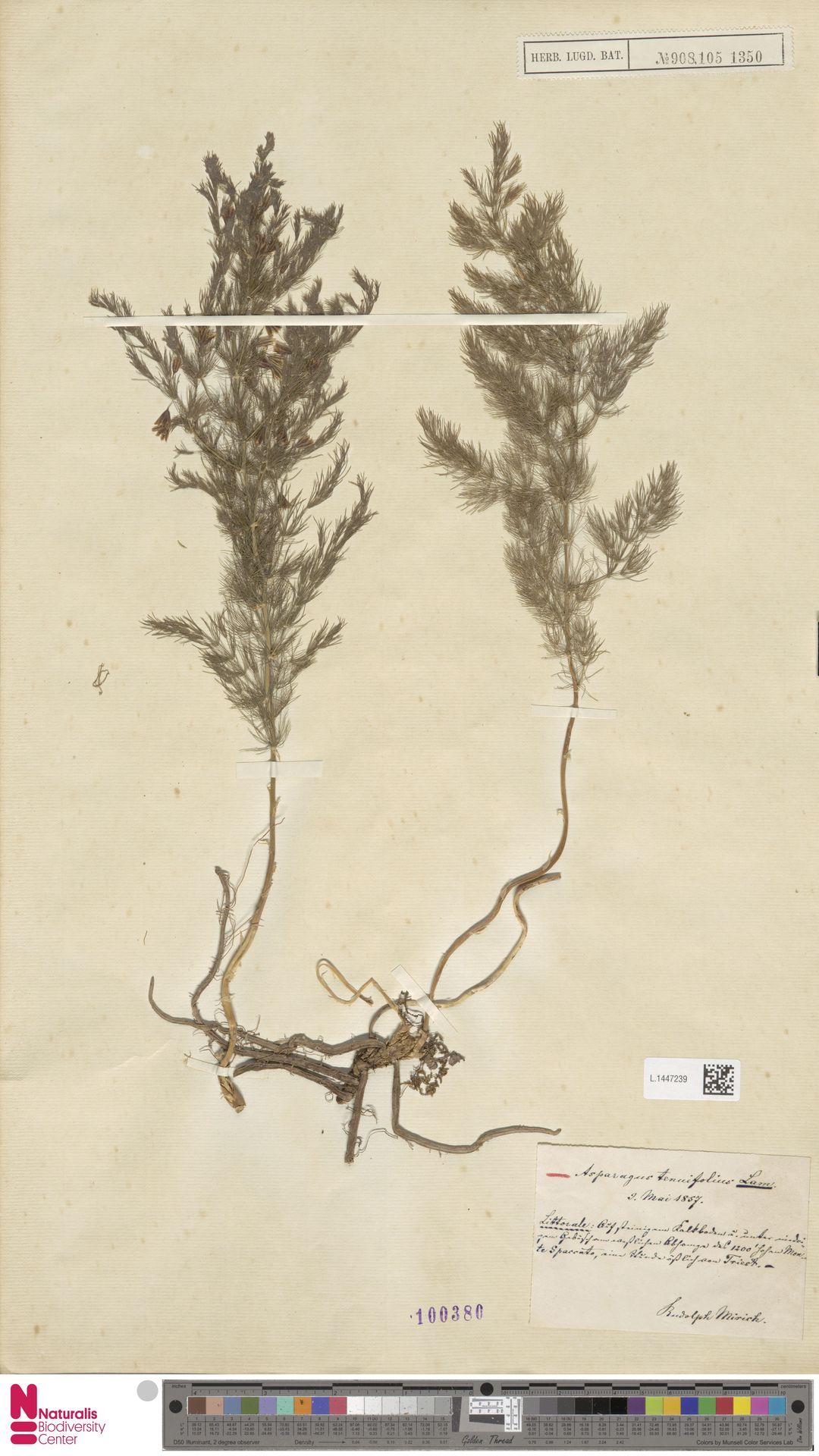 L.1447239 | Asparagus tenuifolius Lam.