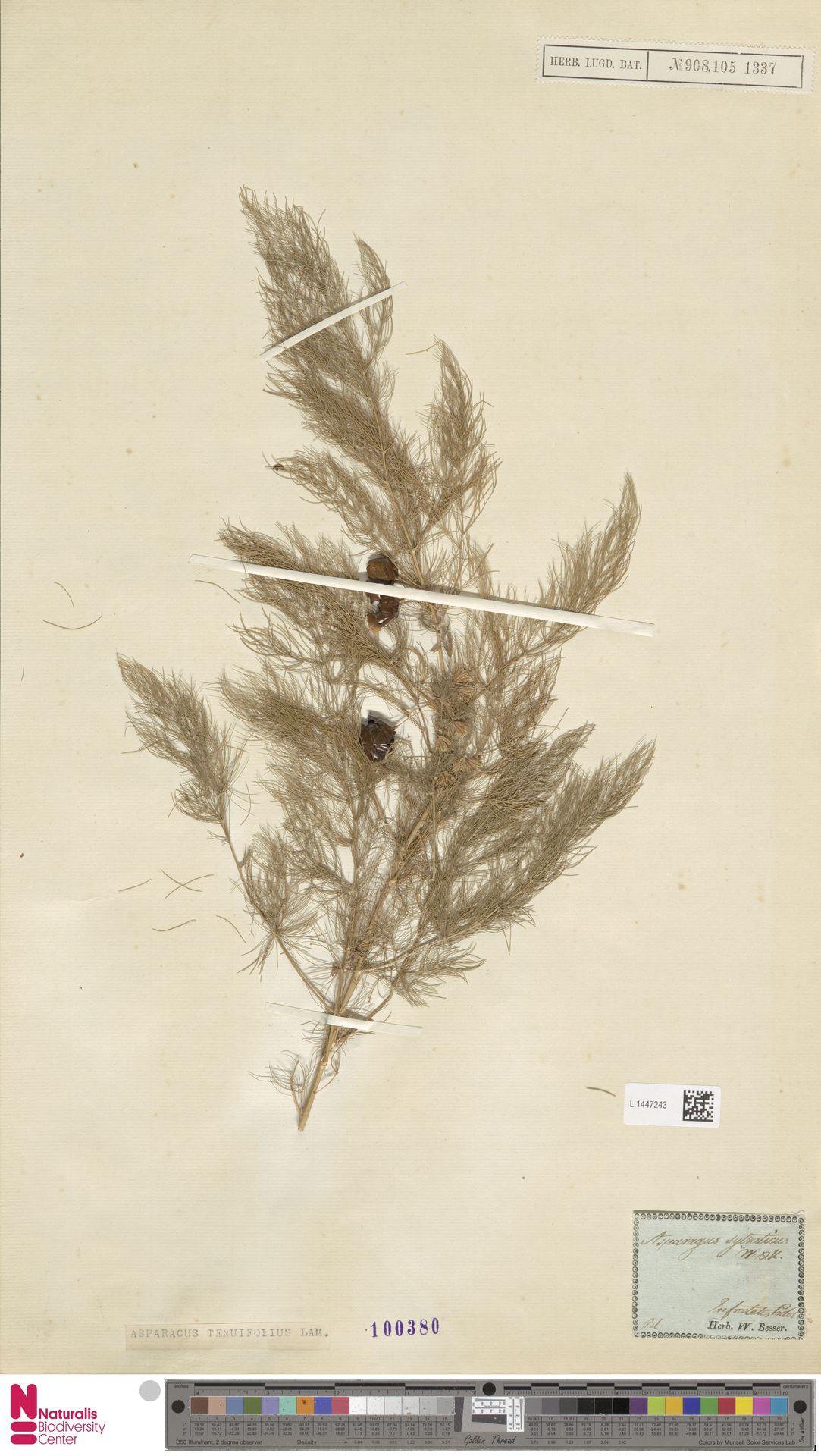 L.1447243 | Asparagus tenuifolius Lam.