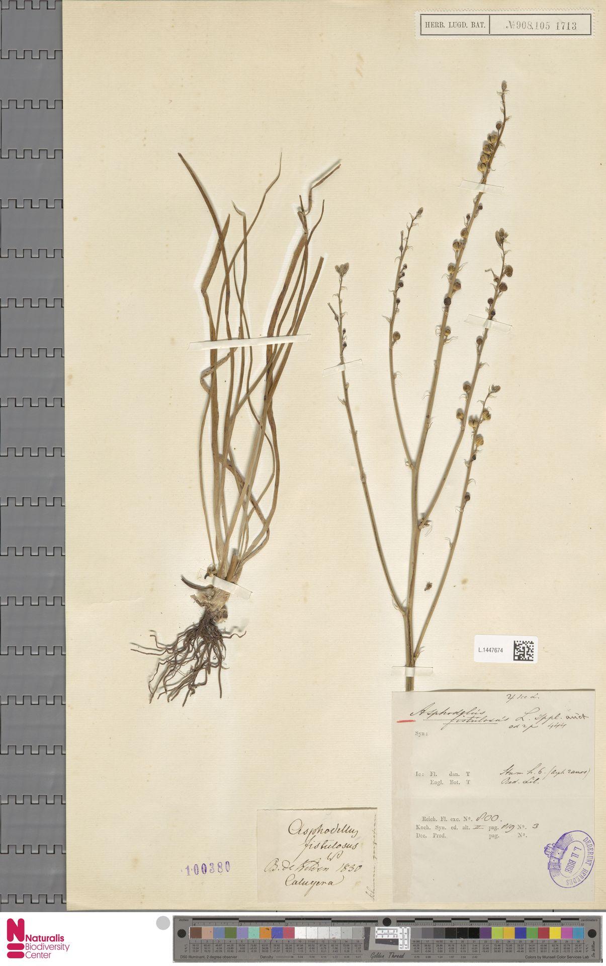 L.1447674 | Asphodelus fistulosus L.