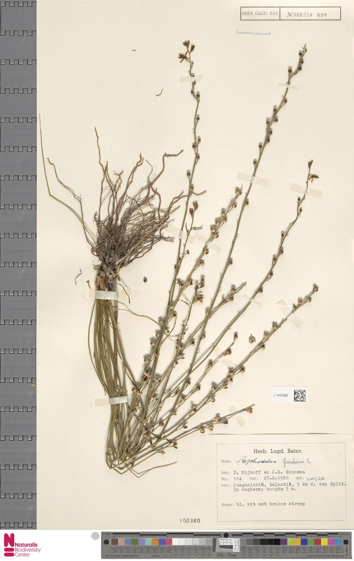 L.1447680 | Asphodelus fistulosus L.