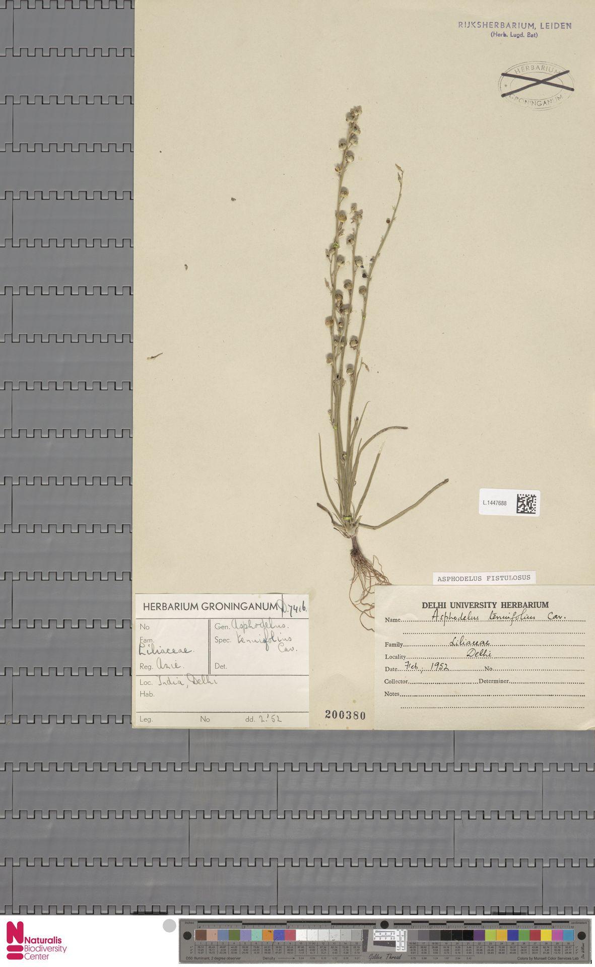 L.1447688 | Asphodelus fistulosus L.