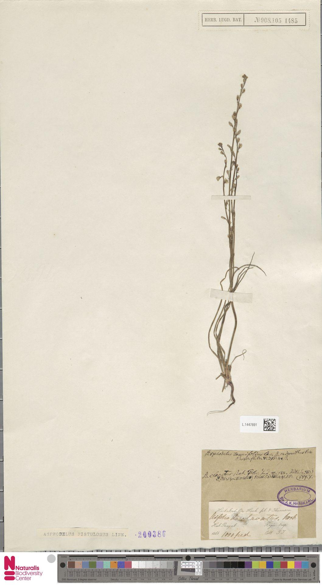 L.1447691   Asphodelus fistulosus L.