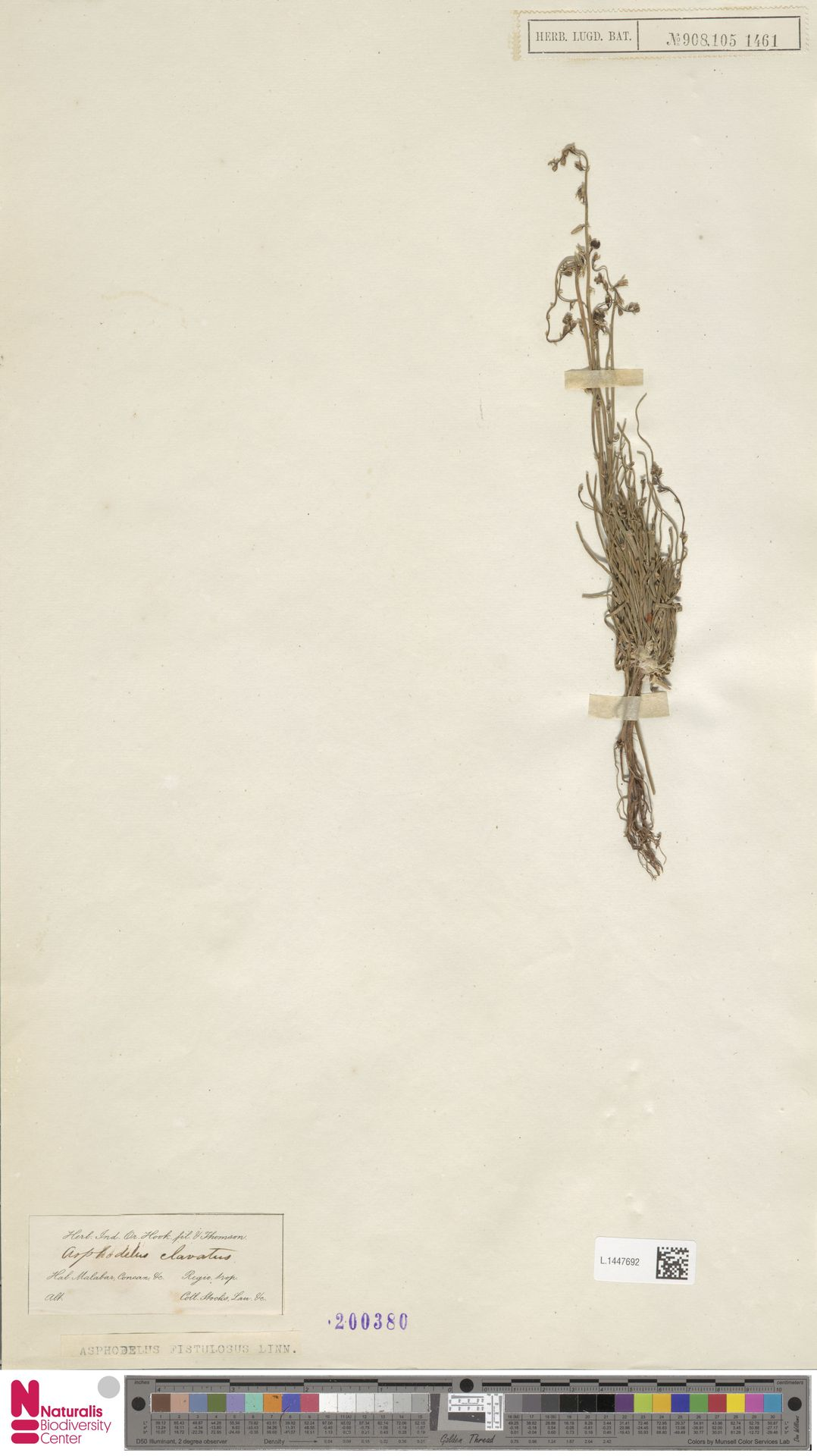 L.1447692 | Asphodelus fistulosus L.