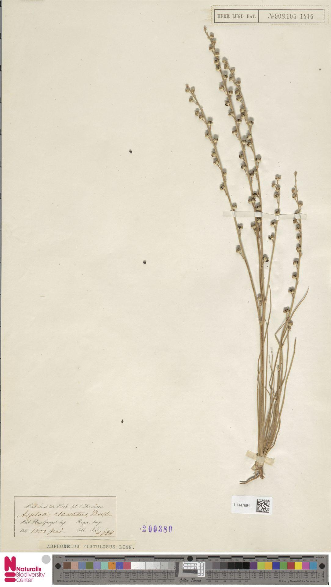 L.1447694 | Asphodelus fistulosus L.