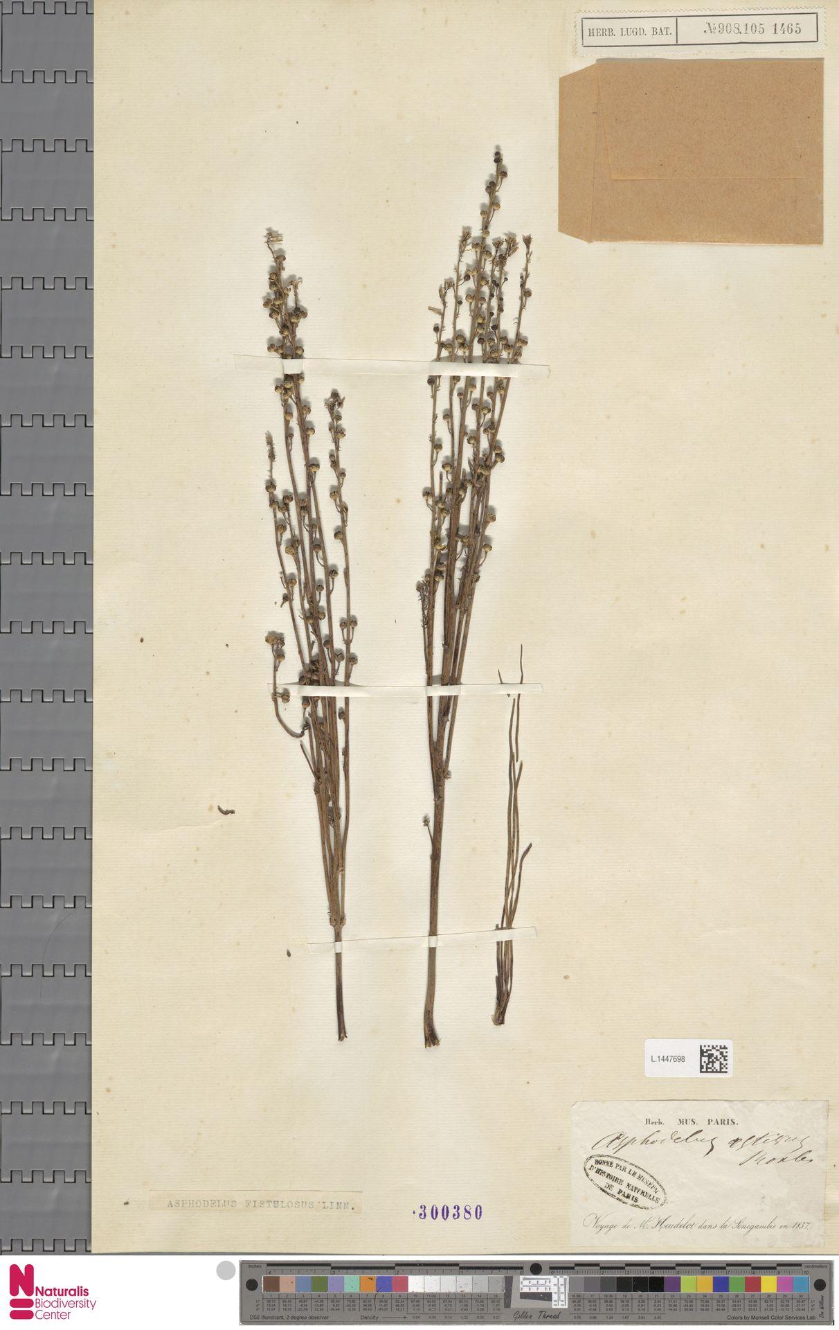 L.1447698 | Asphodelus fistulosus L.
