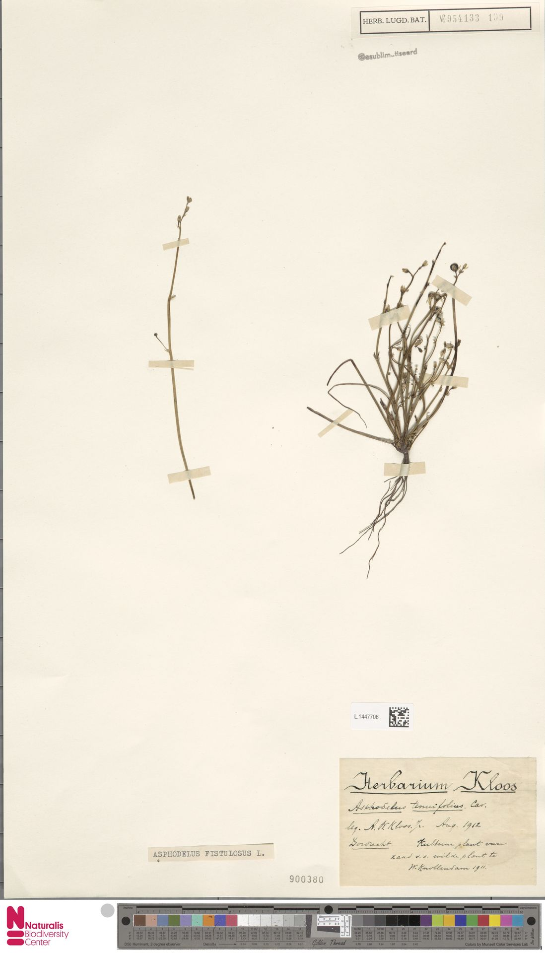 L.1447706 | Asphodelus fistulosus L.
