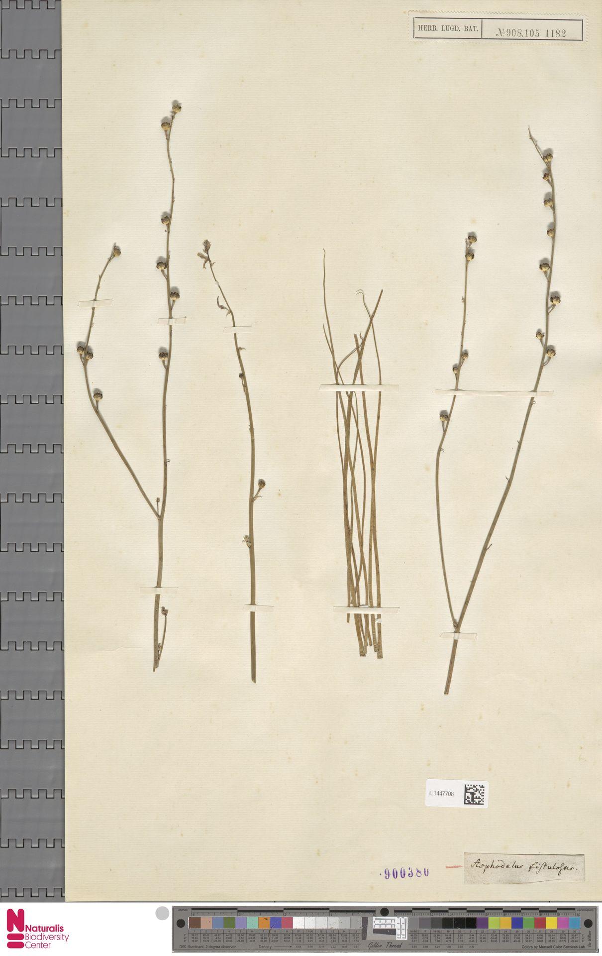 L.1447708 | Asphodelus fistulosus L.
