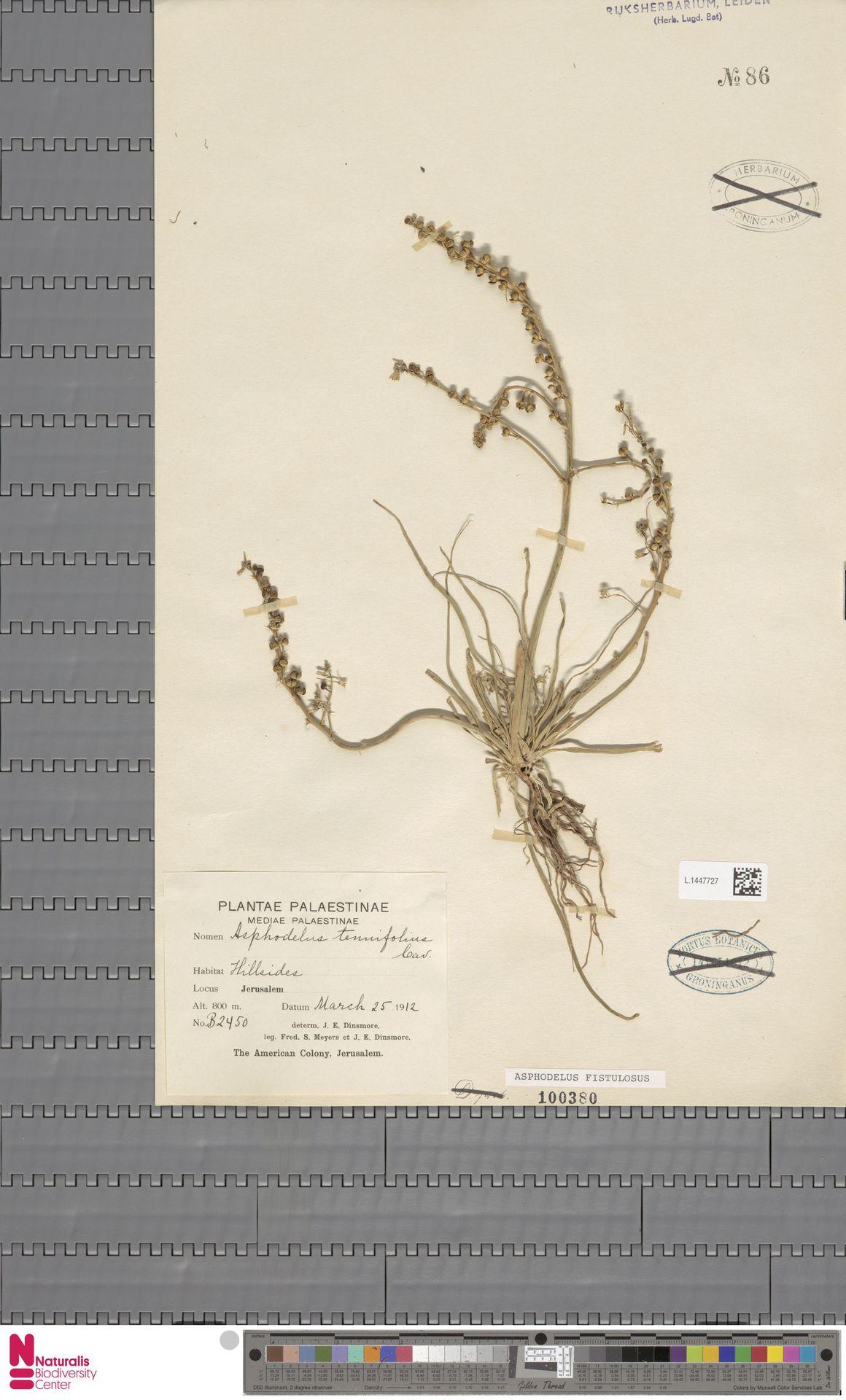 L.1447727   Asphodelus fistulosus L.