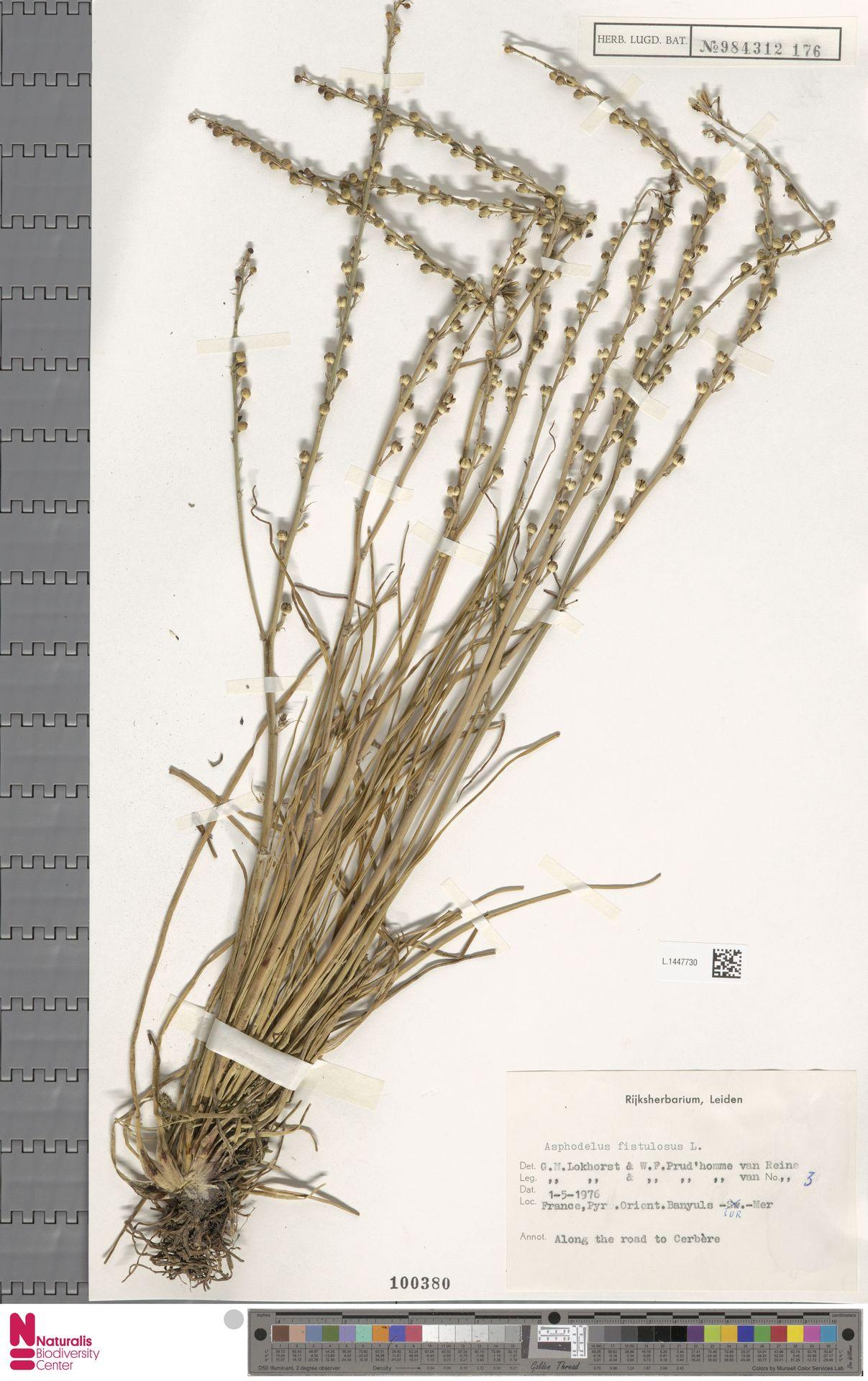 L.1447730   Asphodelus fistulosus L.