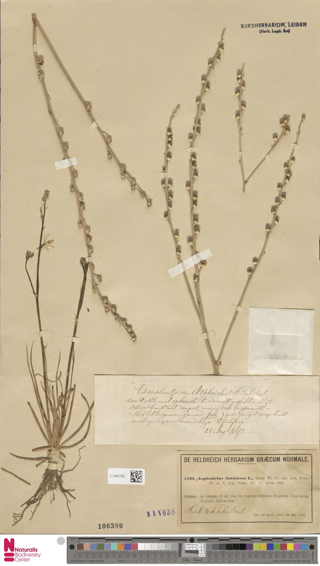 L.1447735 | Asphodelus fistulosus L.