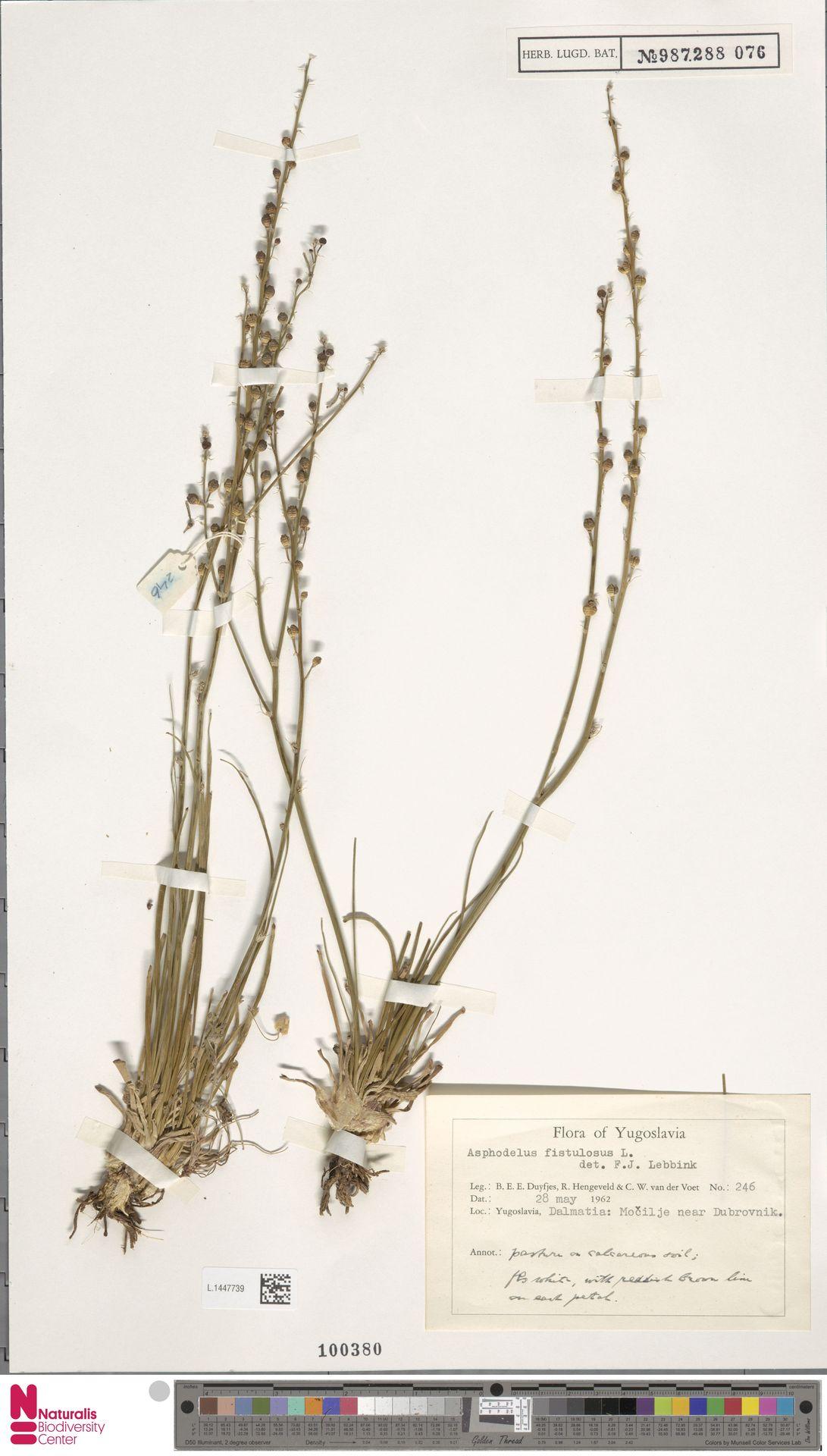 L.1447739 | Asphodelus fistulosus L.