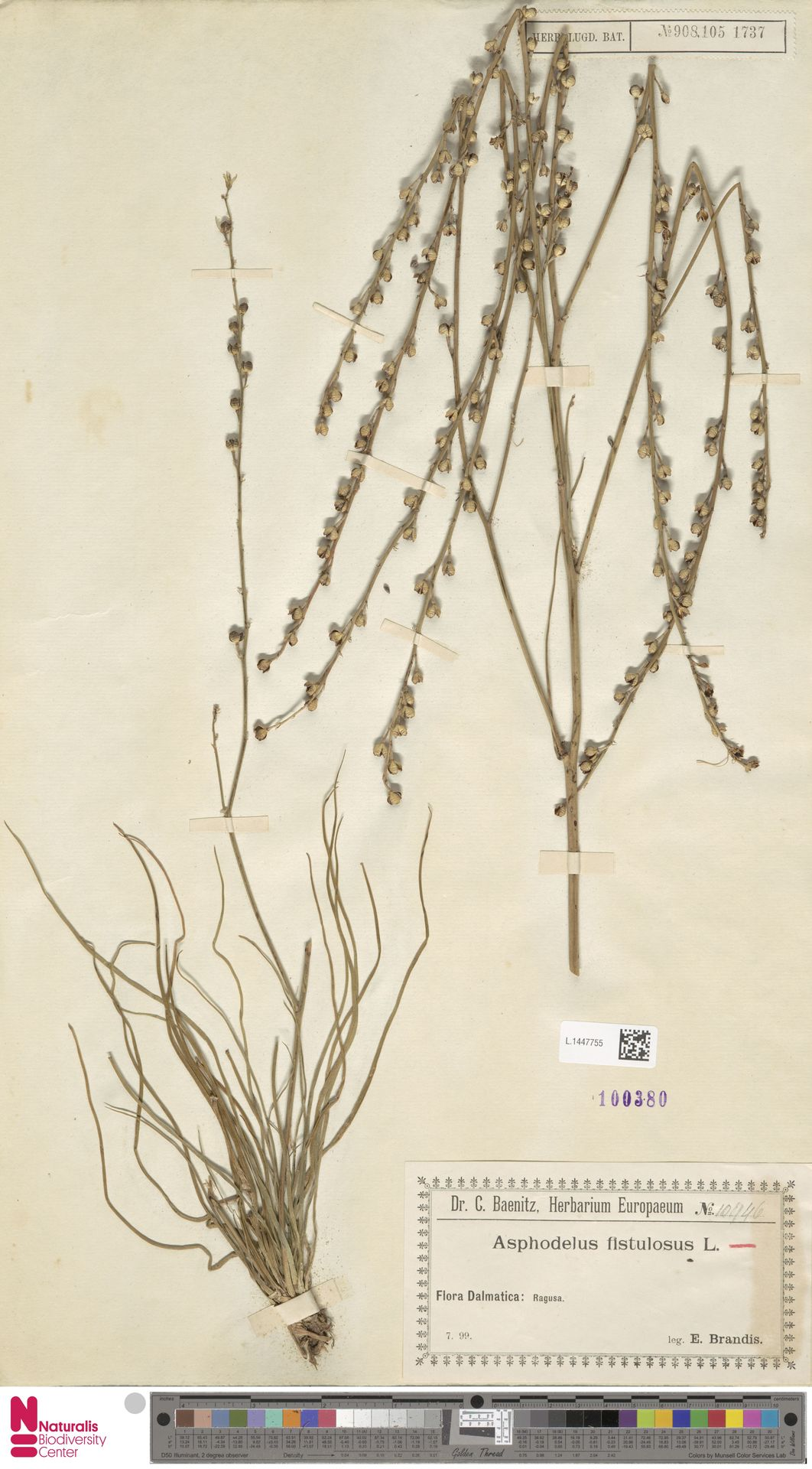 L.1447755 | Asphodelus fistulosus L.