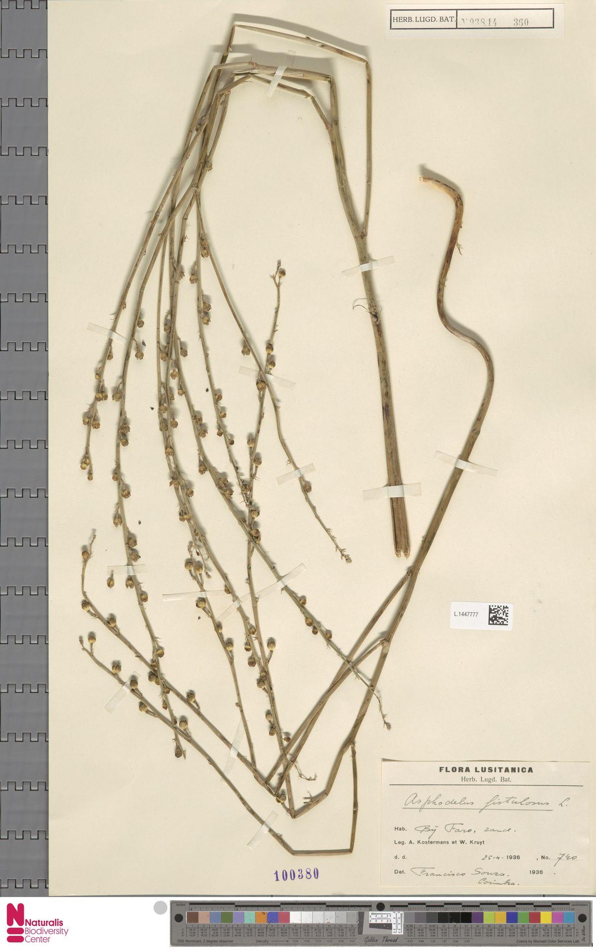 L.1447777 | Asphodelus fistulosus L.
