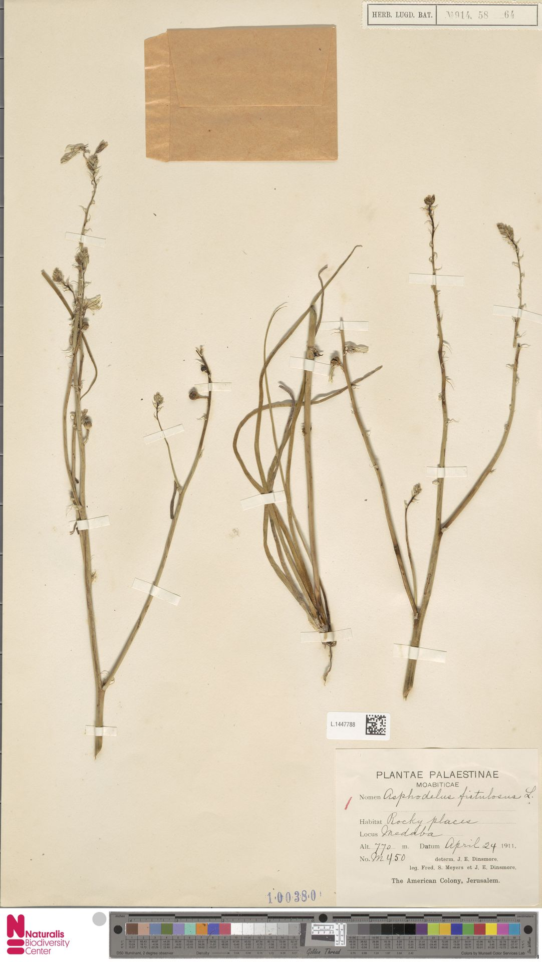 L.1447788   Asphodelus fistulosus L.