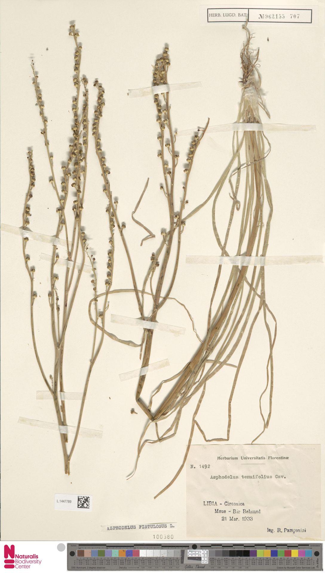 L.1447789 | Asphodelus fistulosus L.
