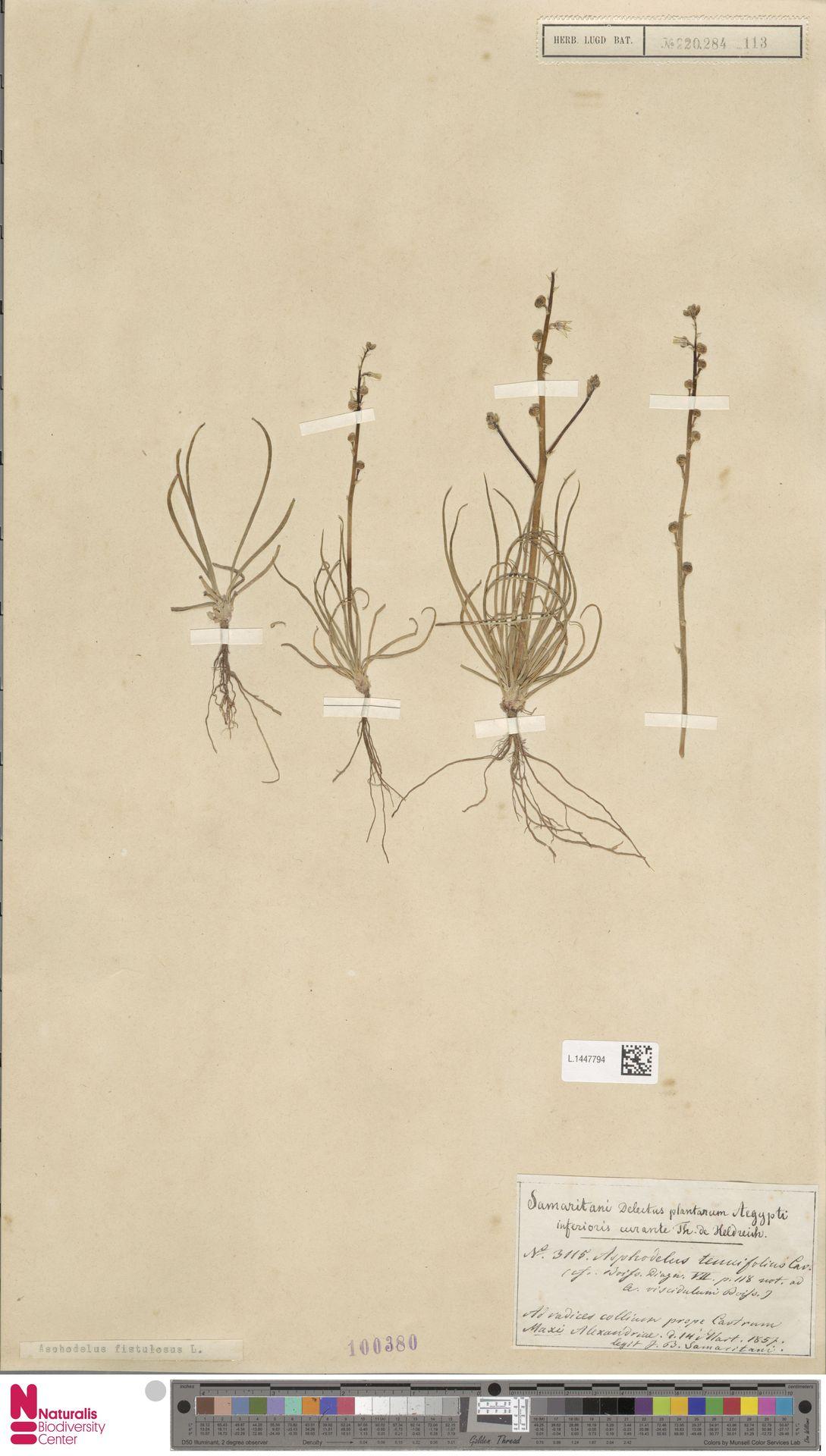 L.1447794   Asphodelus fistulosus L.
