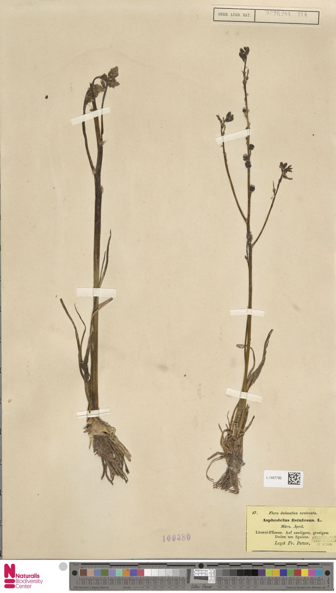 L.1447795 | Asphodelus fistulosus L.