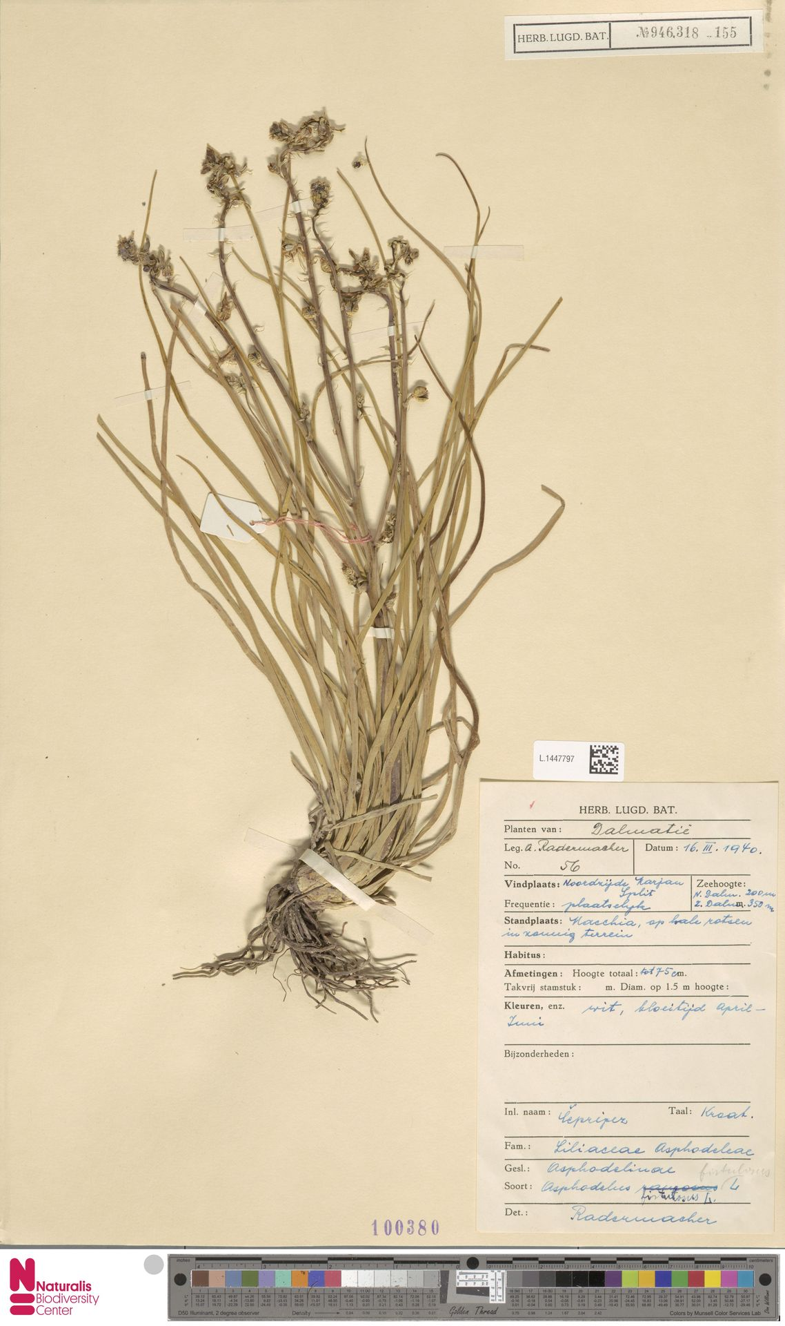 L.1447797   Asphodelus fistulosus L.