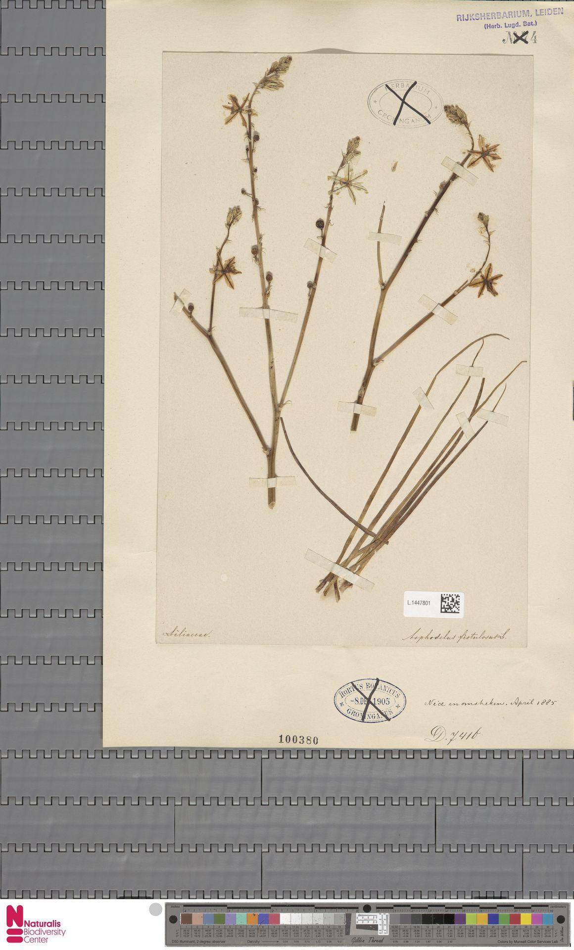 L.1447801 | Asphodelus fistulosus L.