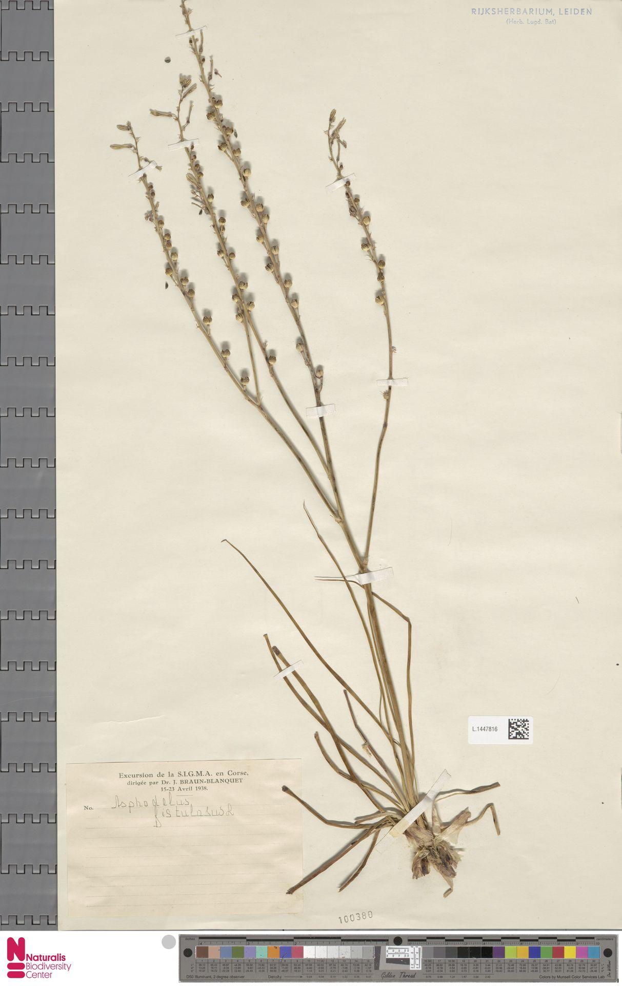 L.1447816   Asphodelus fistulosus L.