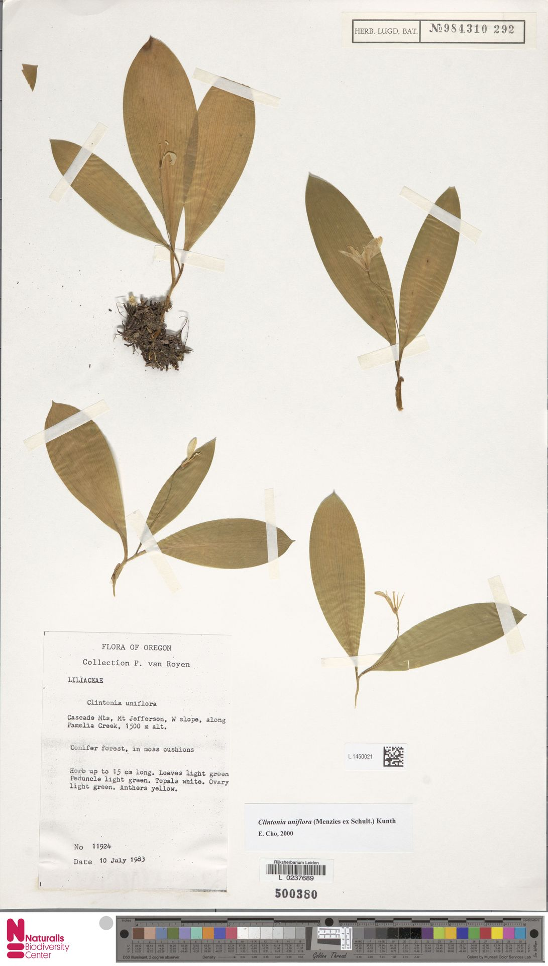 L.1450021 | Clintonia uniflora Kunth