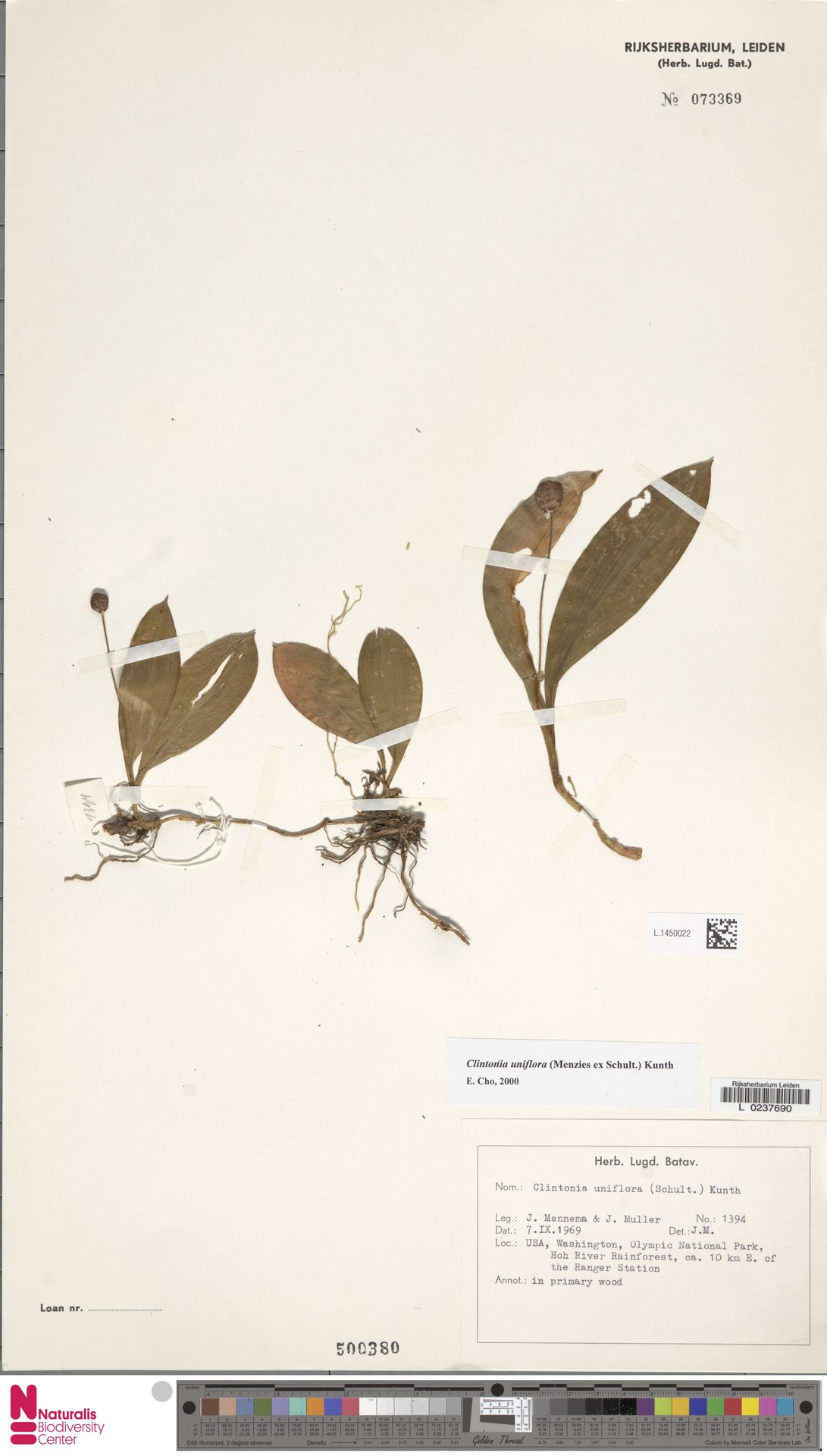 L.1450022 | Clintonia uniflora Kunth