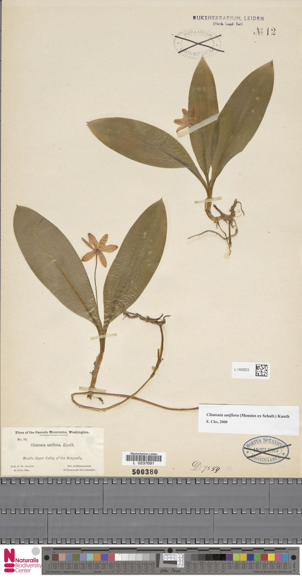 L.1450023 | Clintonia uniflora Kunth