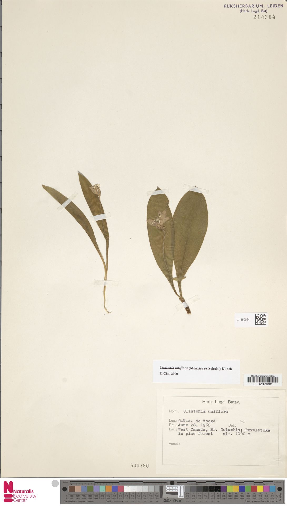L.1450024 | Clintonia uniflora Kunth