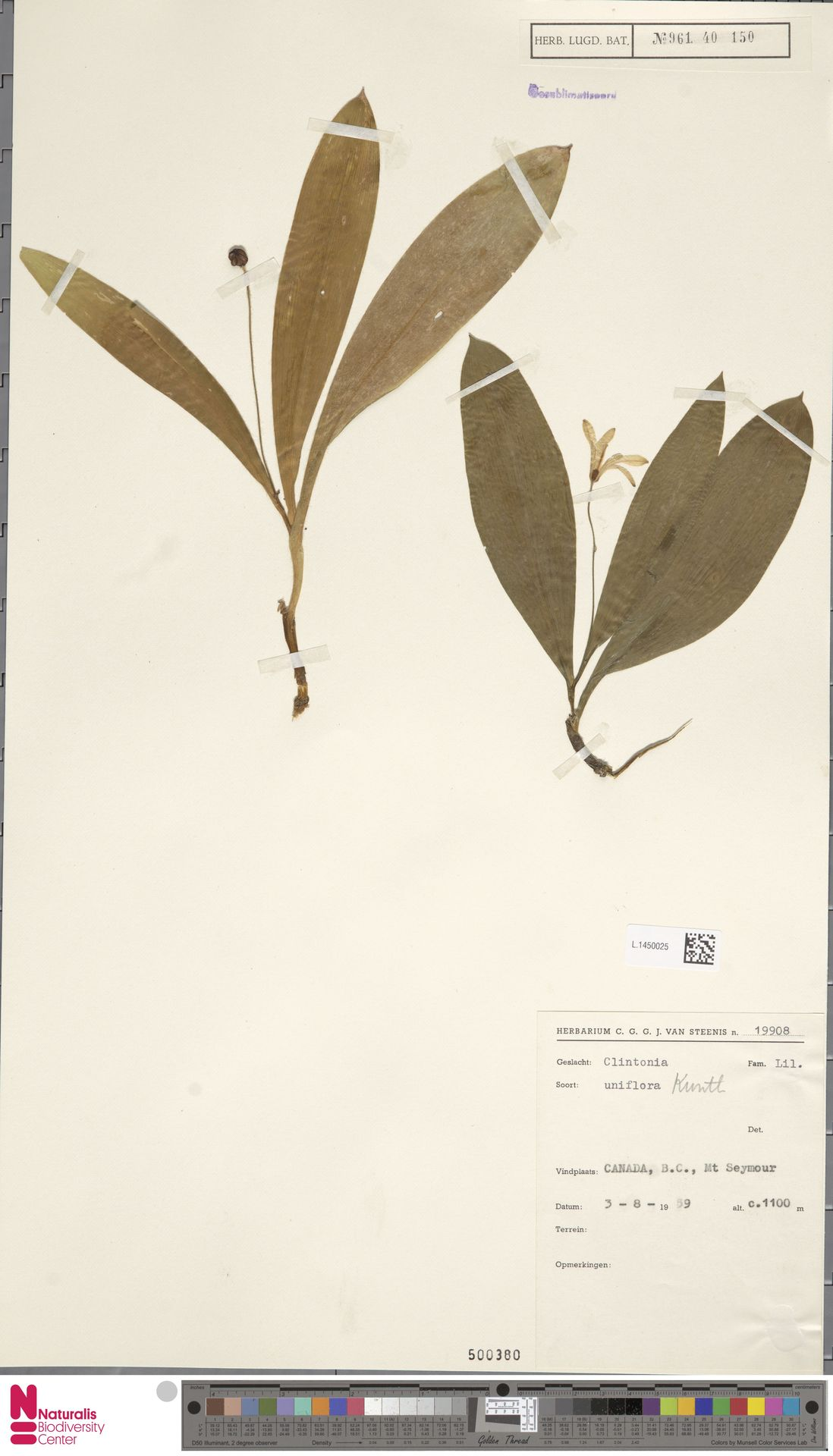 L.1450025 | Clintonia uniflora Kunth
