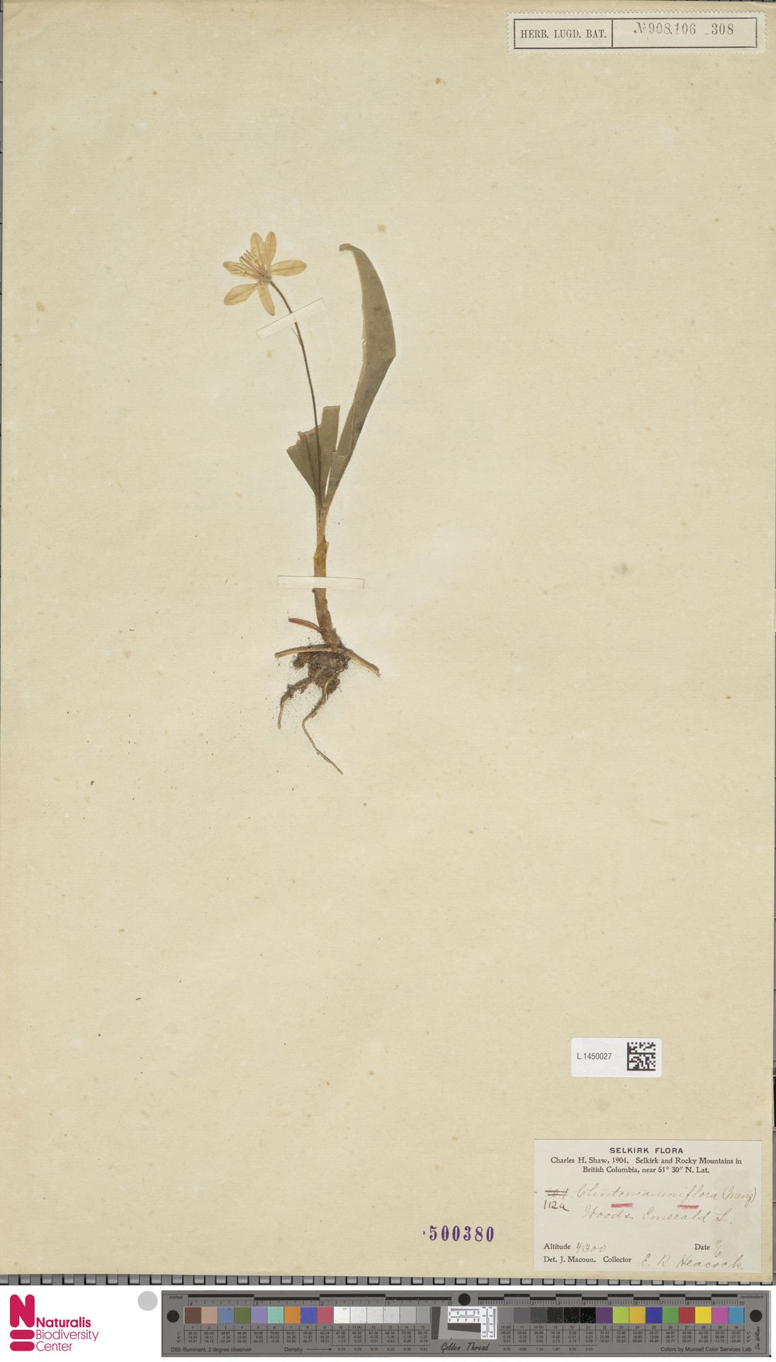 L.1450027 | Clintonia uniflora Kunth