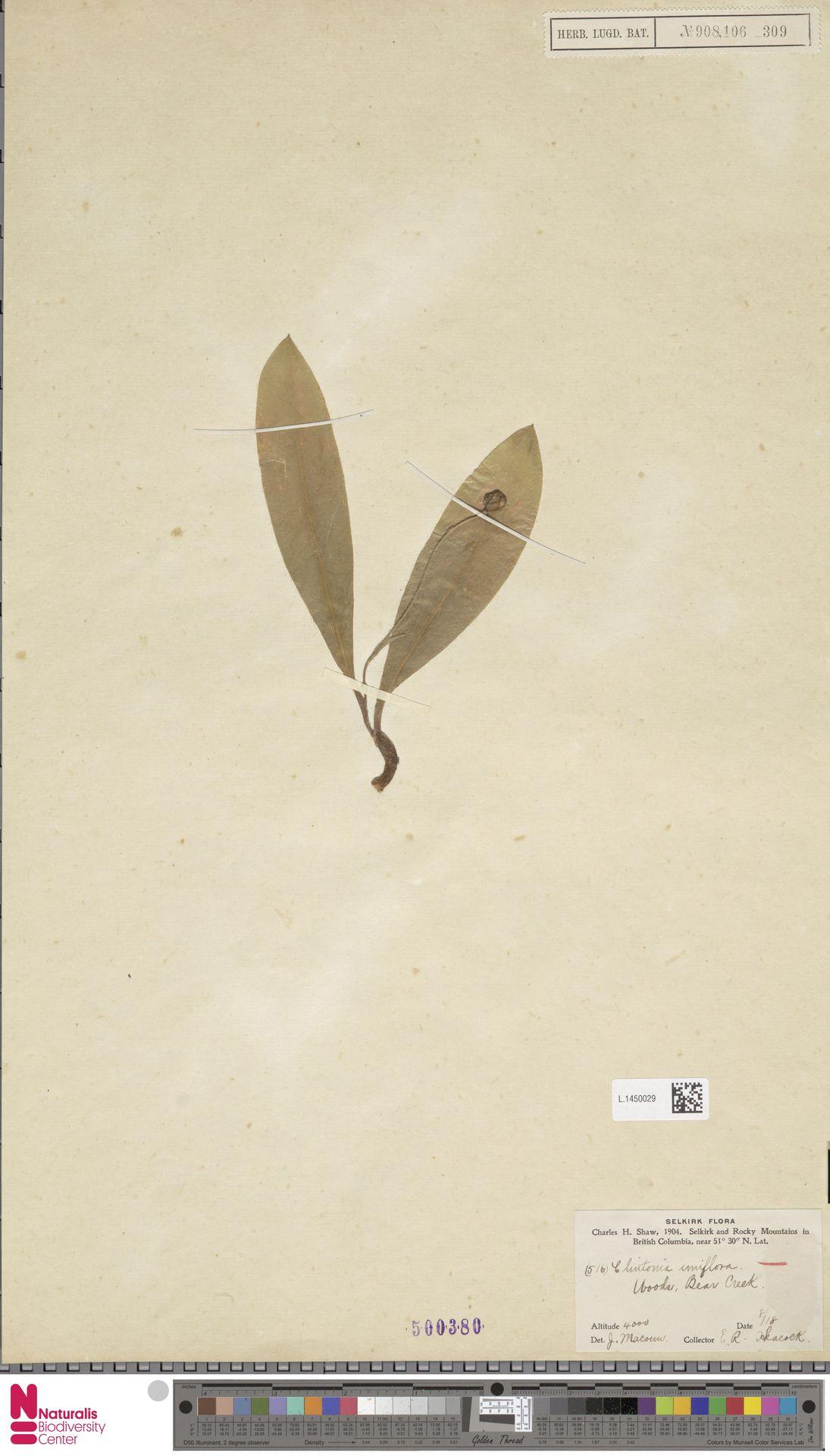 L.1450029 | Clintonia uniflora Kunth