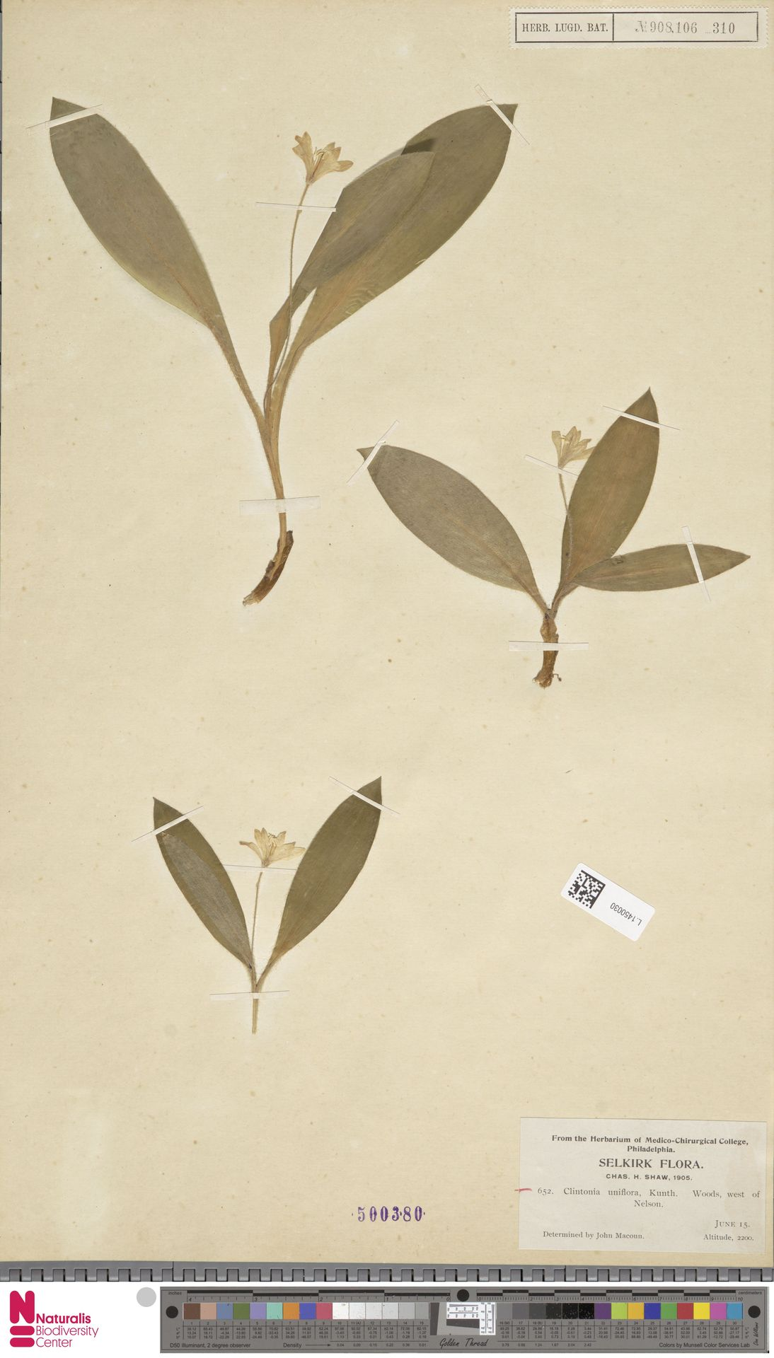 L.1450030 | Clintonia uniflora Kunth