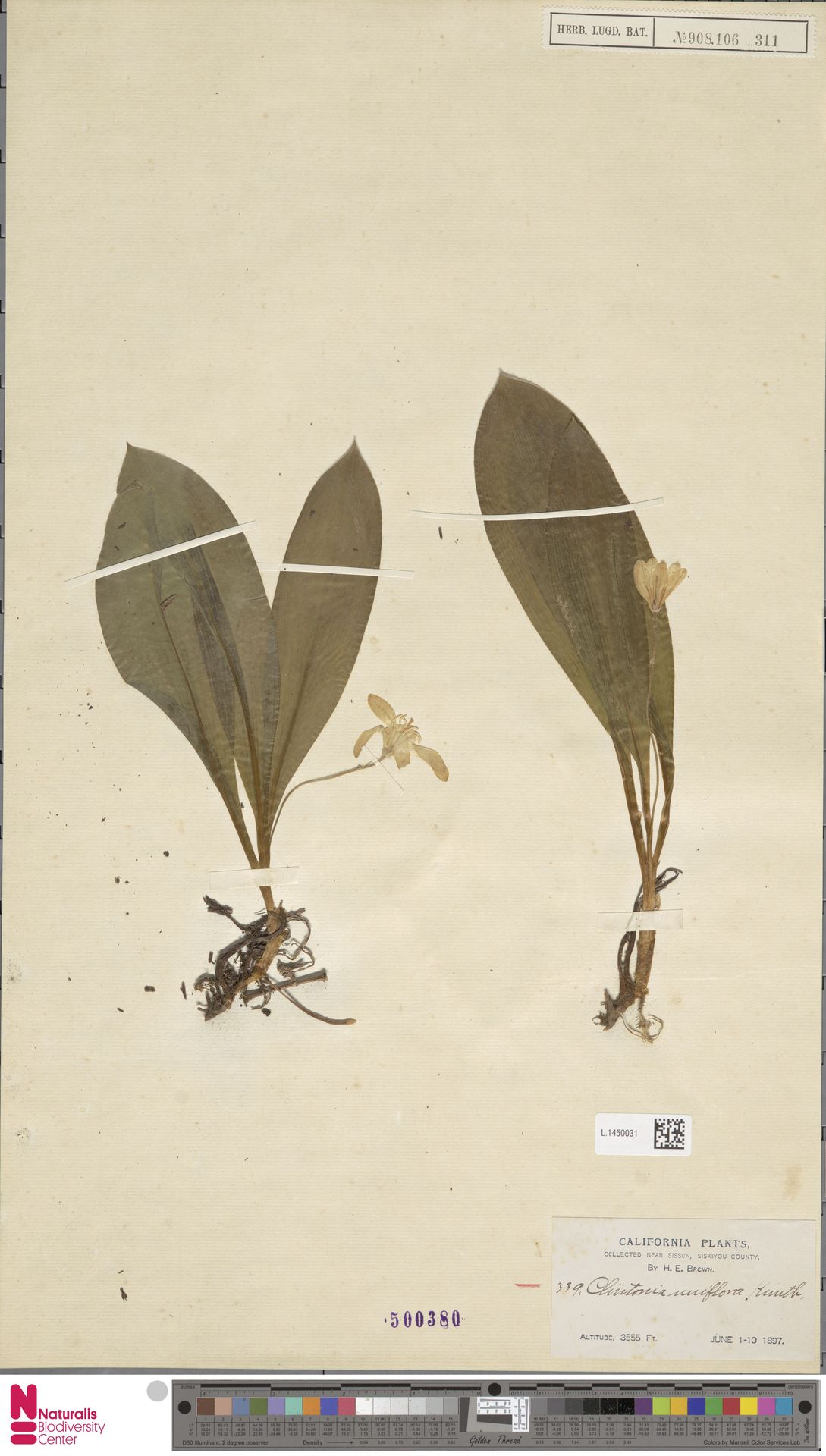 L.1450031 | Clintonia uniflora Kunth