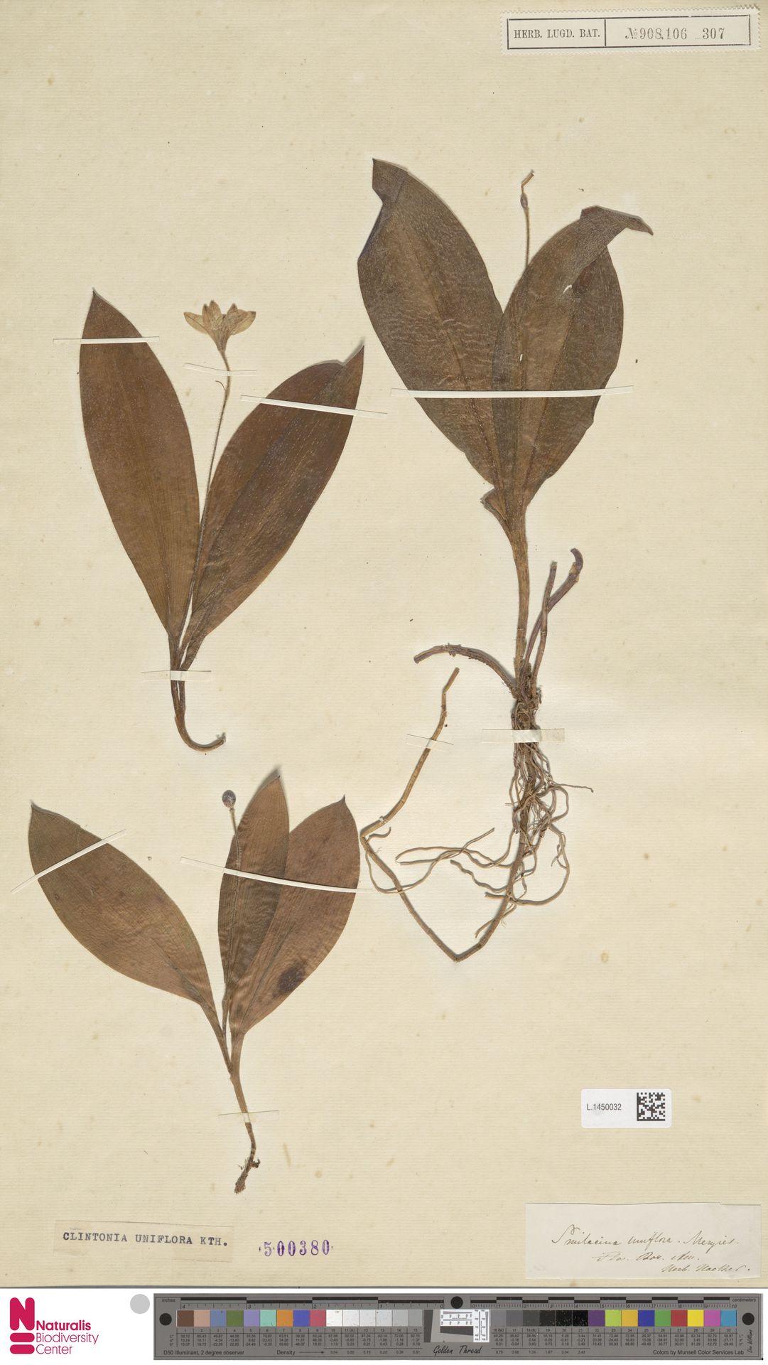 L.1450032 | Clintonia uniflora Kunth