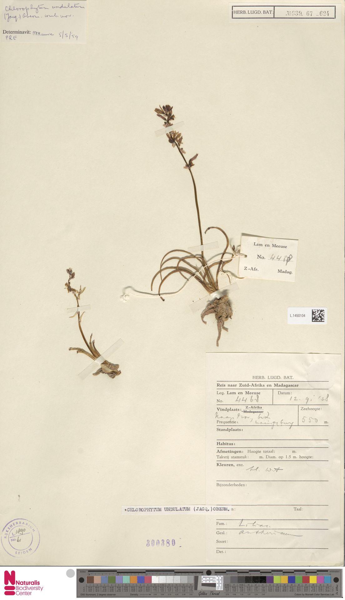 L.1450104 | Chlorophytum undulatum (Jacq.) Oberm.