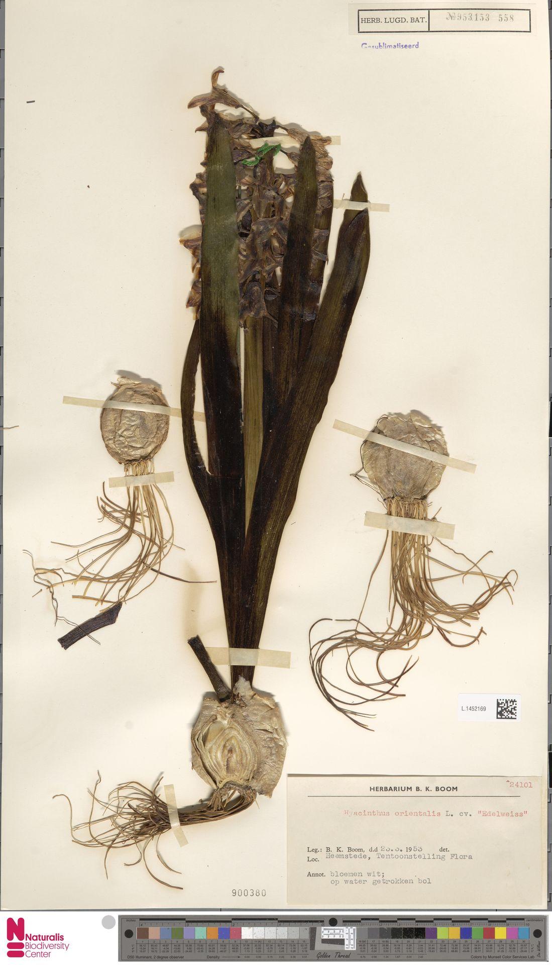 L.1452169 | Hyacinthus orientalis L.