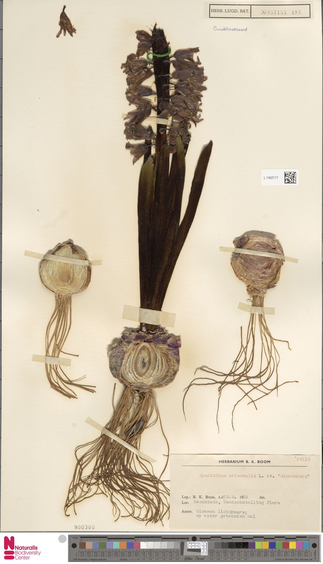 L.1452177   Hyacinthus orientalis L.